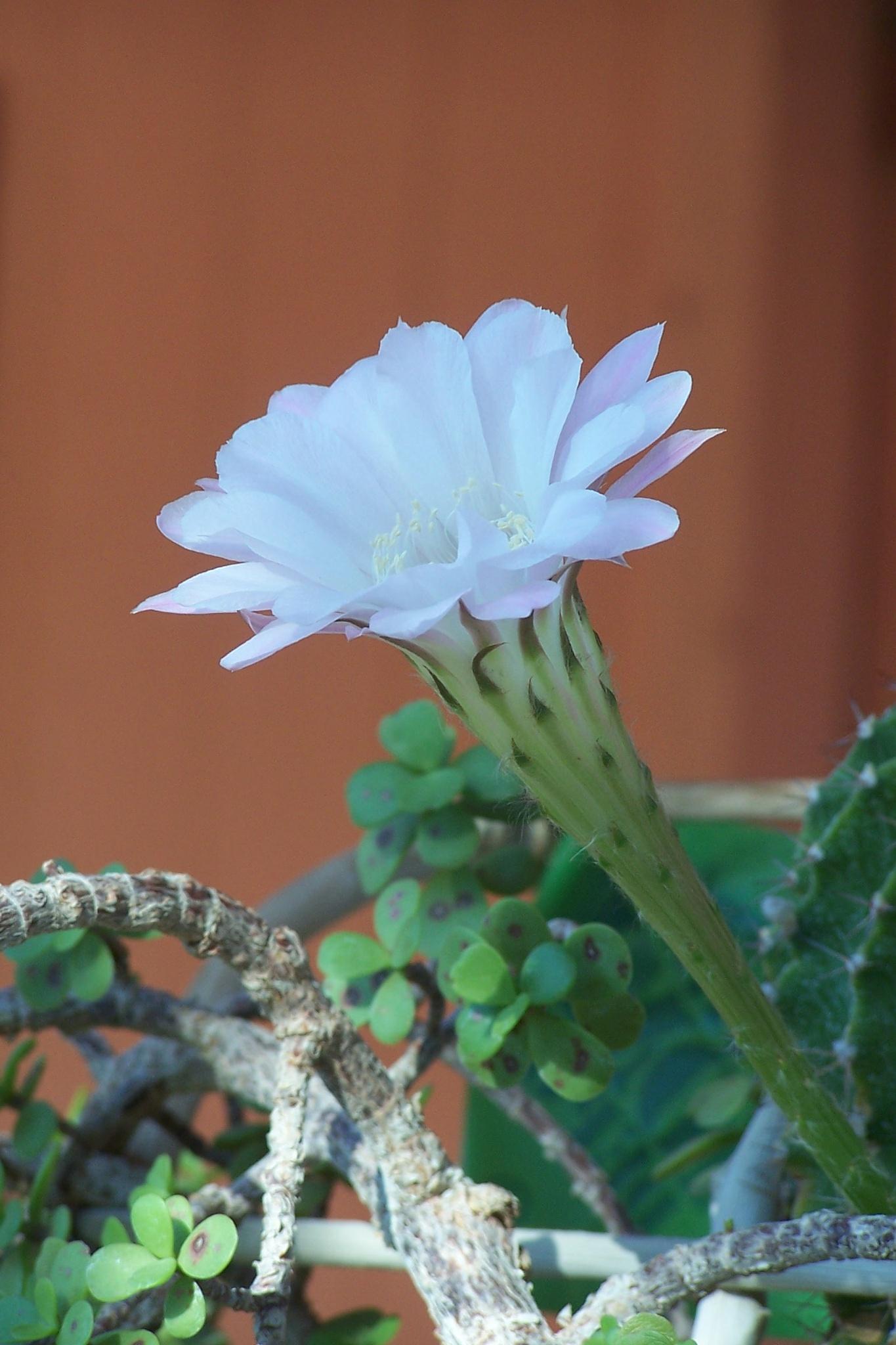 California Desert Cactus Flower by ArleenDel
