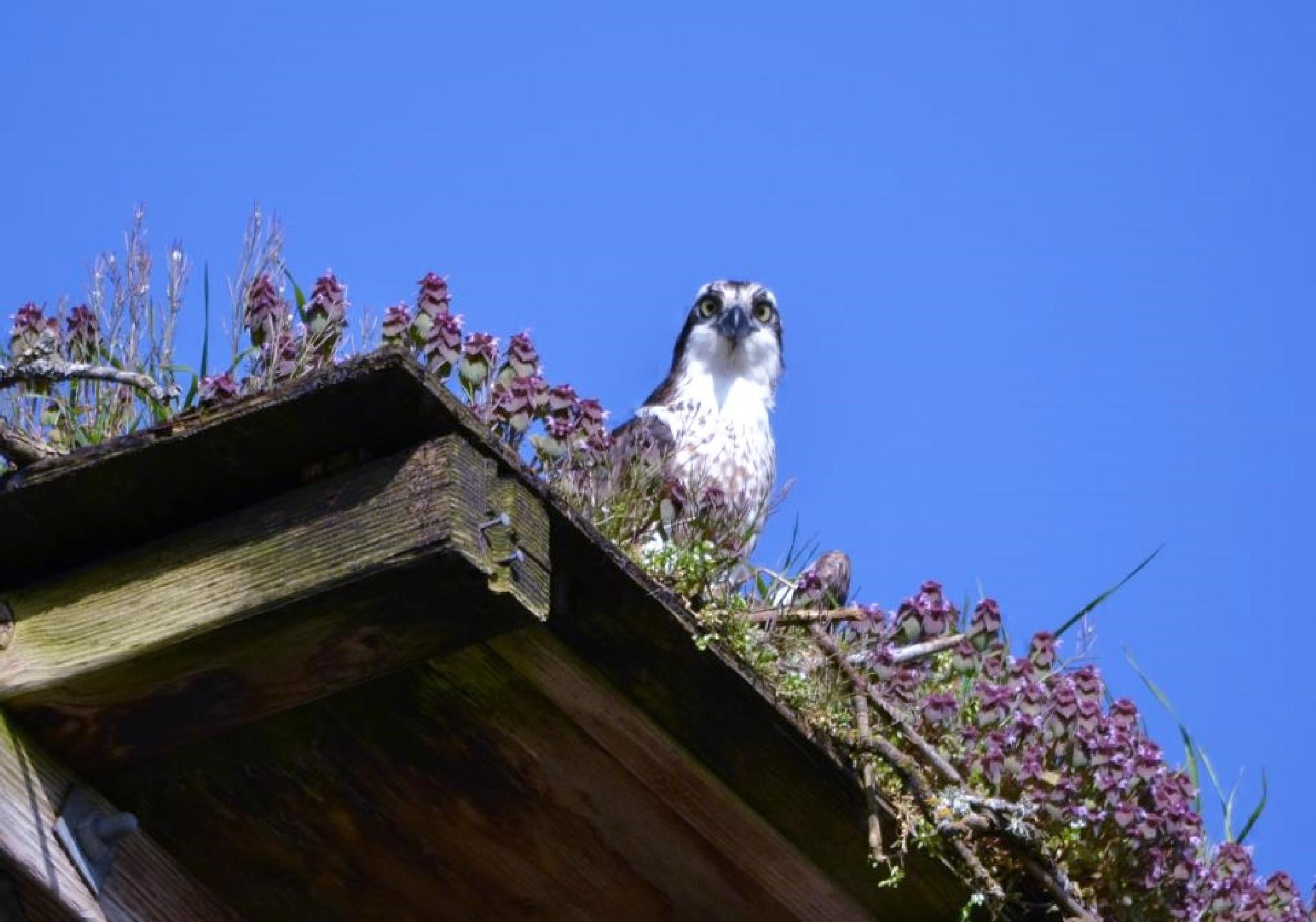 Osprey is in by siobhansdaughter