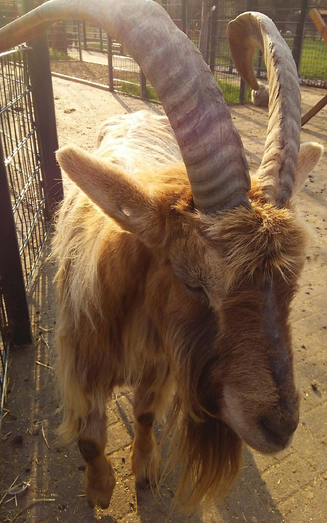 Goat by  Biniam