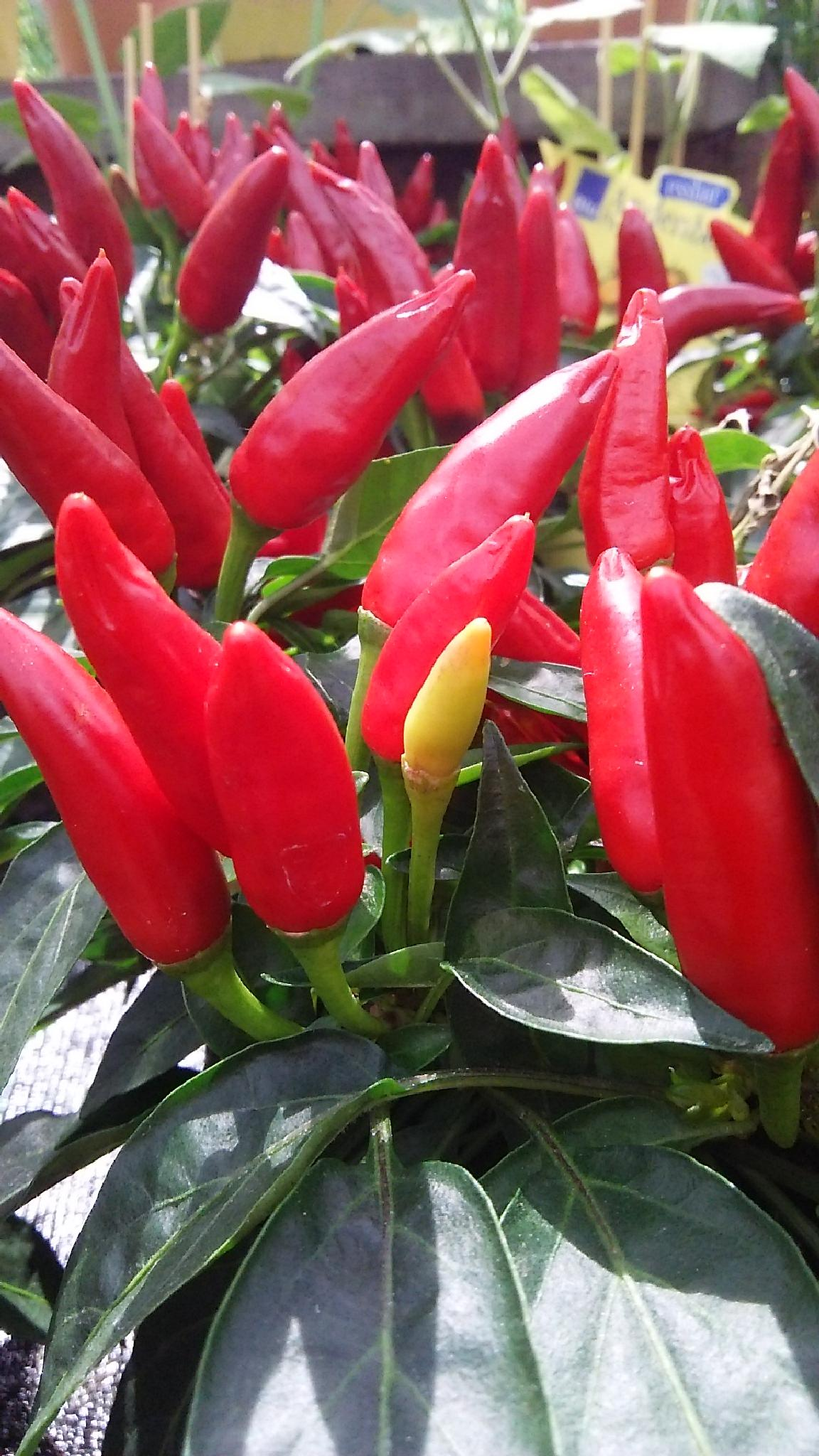 rEd yEllow grEEn , PEPpeR by  Biniam