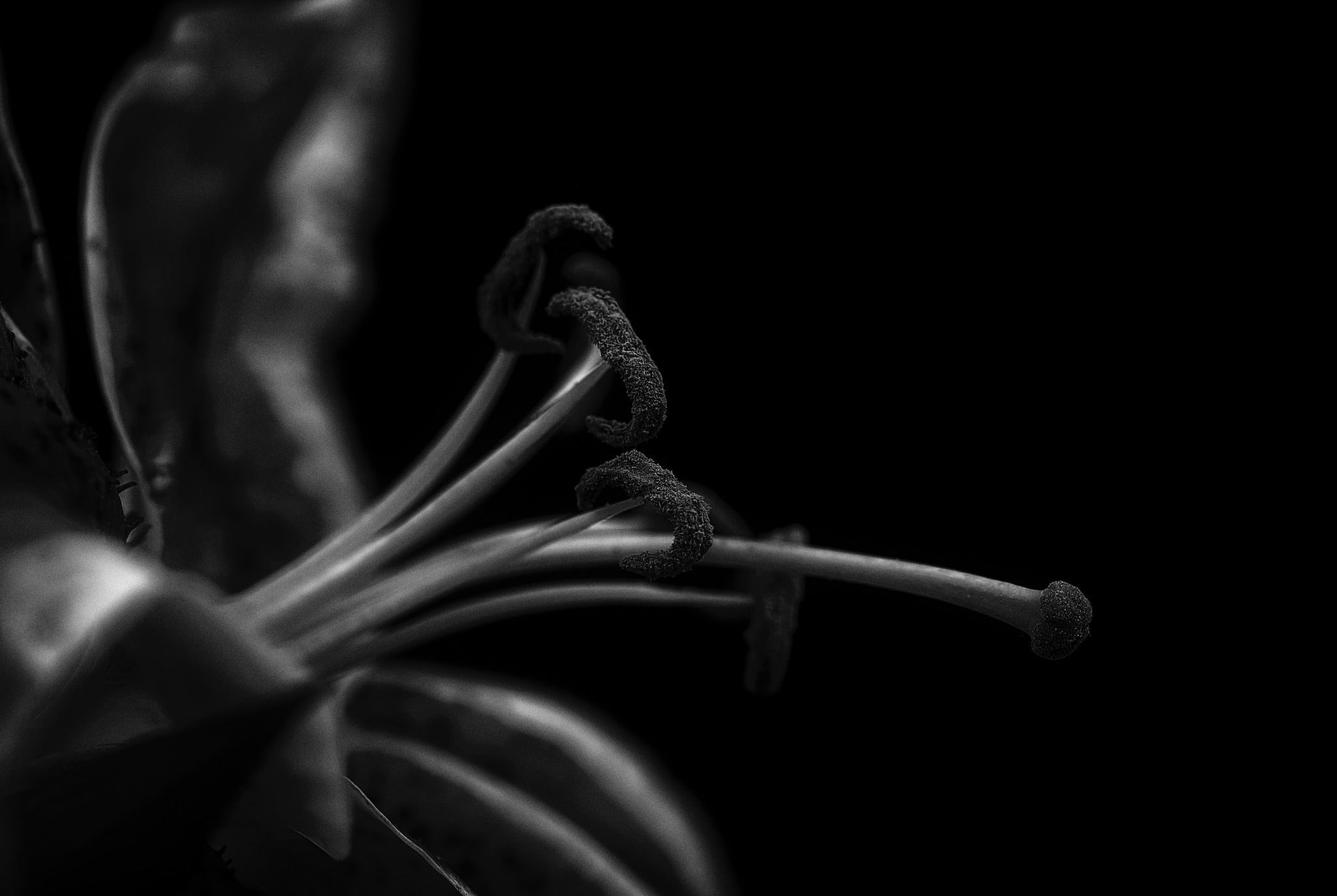 Photo in Black and White #flower #lilly #macro #black and white