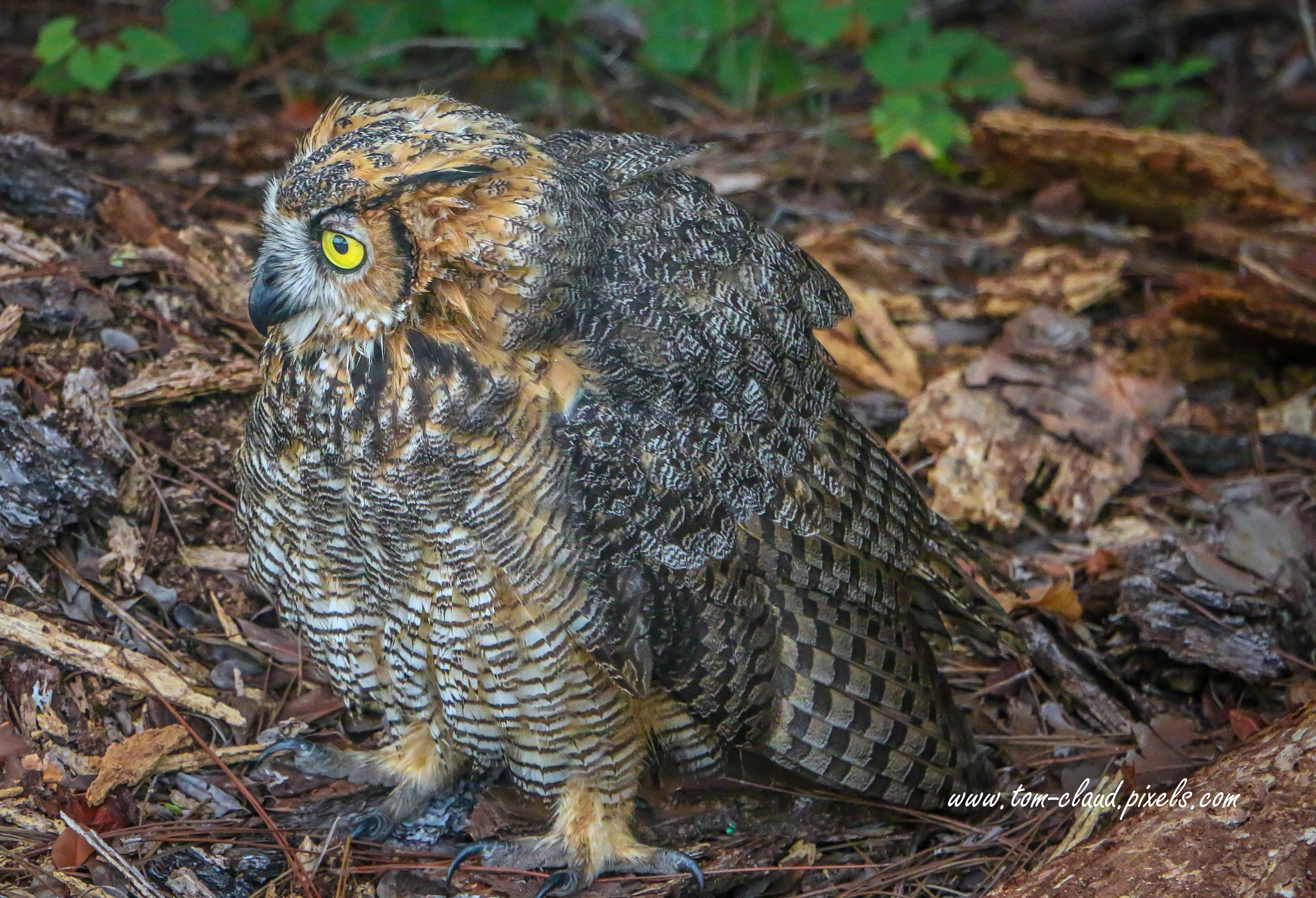 Owl on Ground by TClaud
