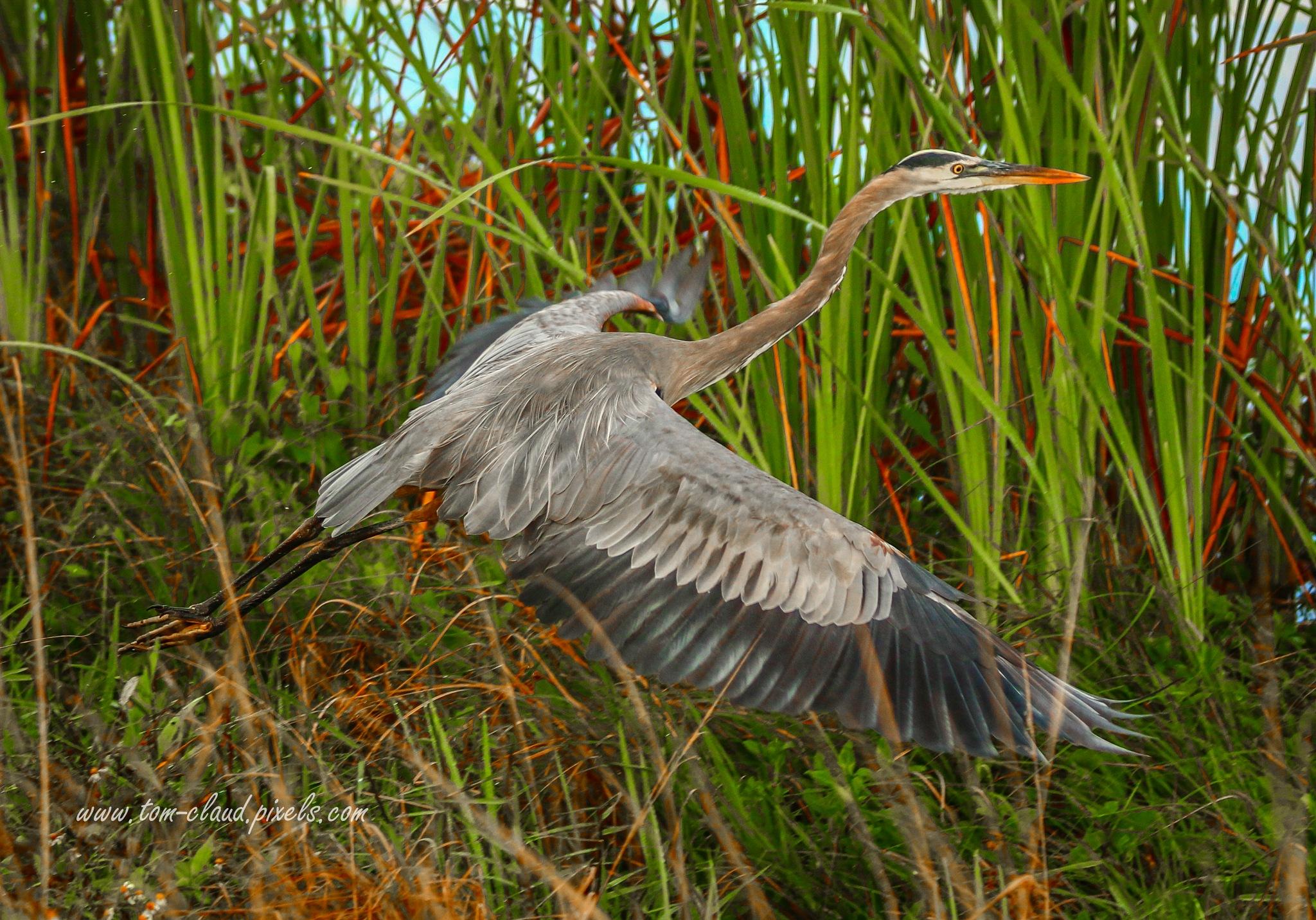 Blue Heron Take-Off by TClaud