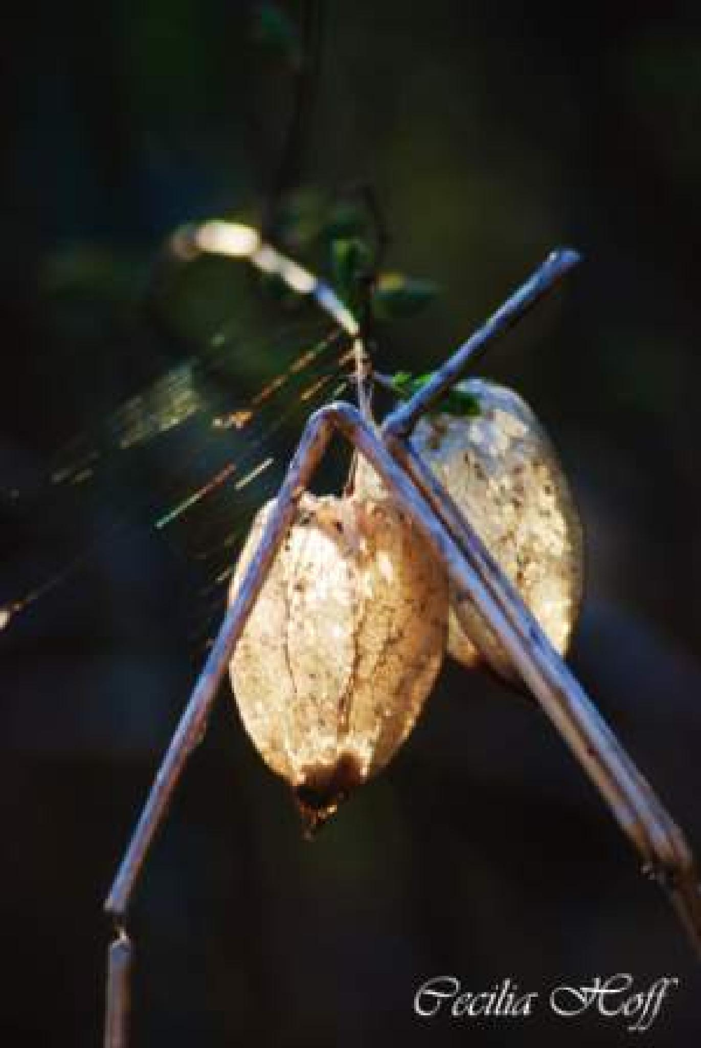 Seedpod by hoffcecilia