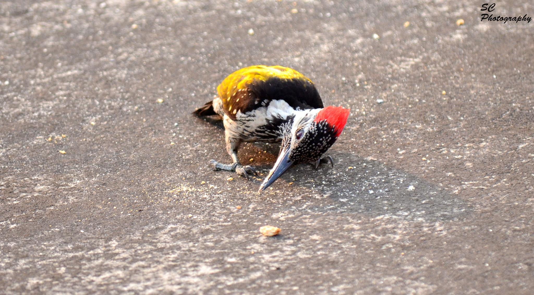 Woodpecker by surajit.chakraborty.3745