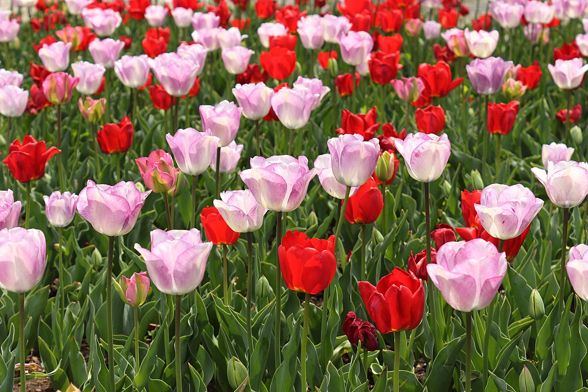 Tulips by tayfun.tatar