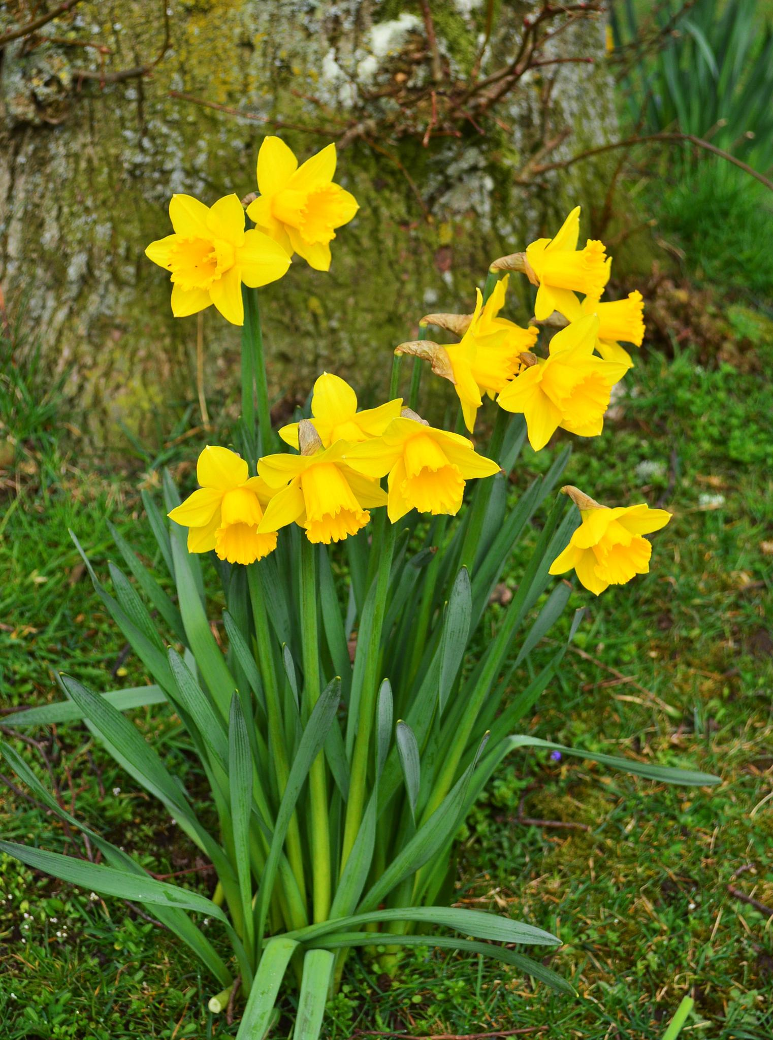 Daffodils by andrewwalker14