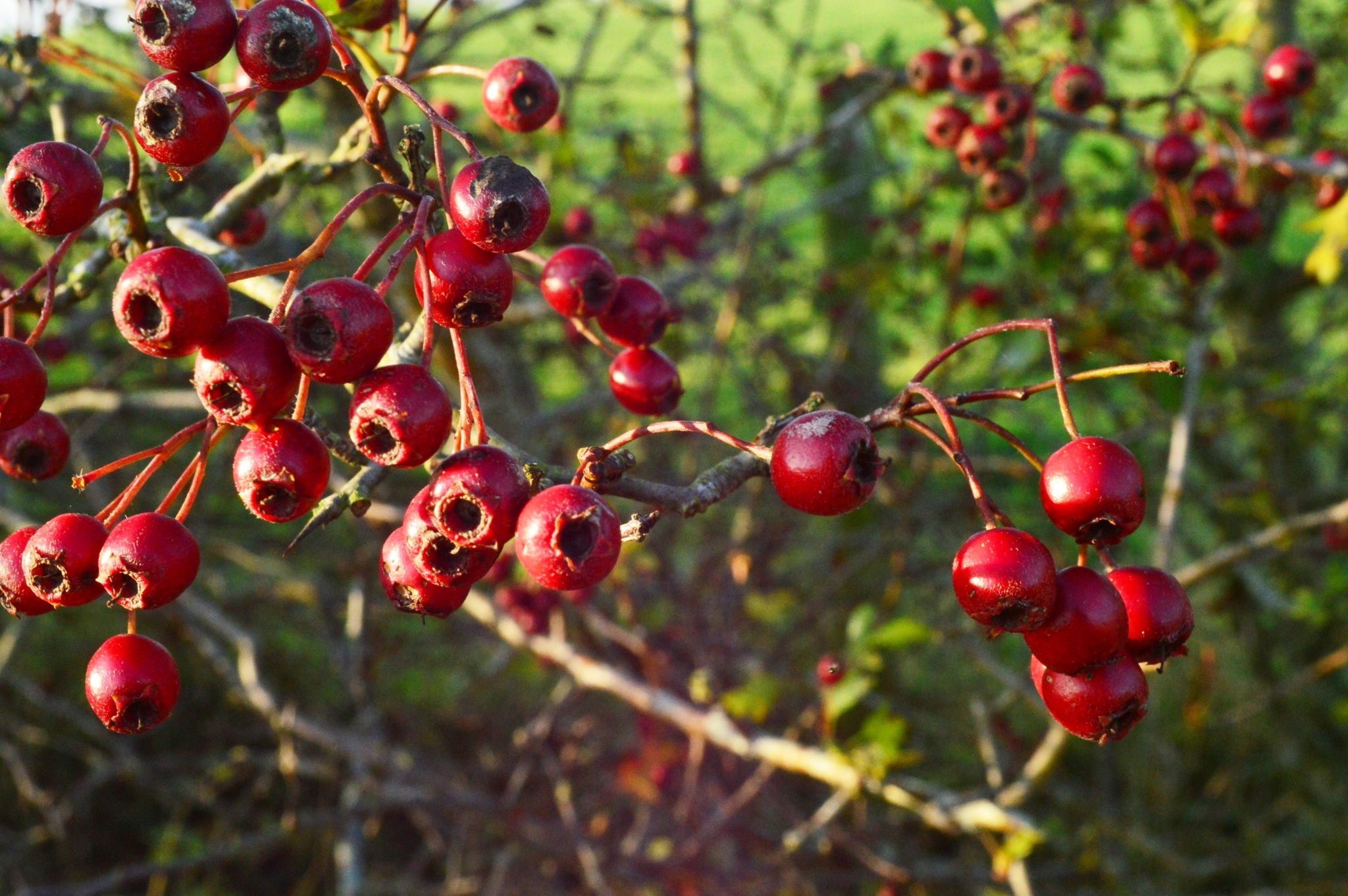 Autumn Berries by andrewwalker14
