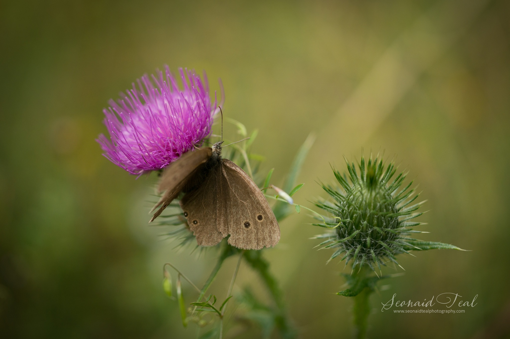 On ta thistle by Seonaid Teal Photography
