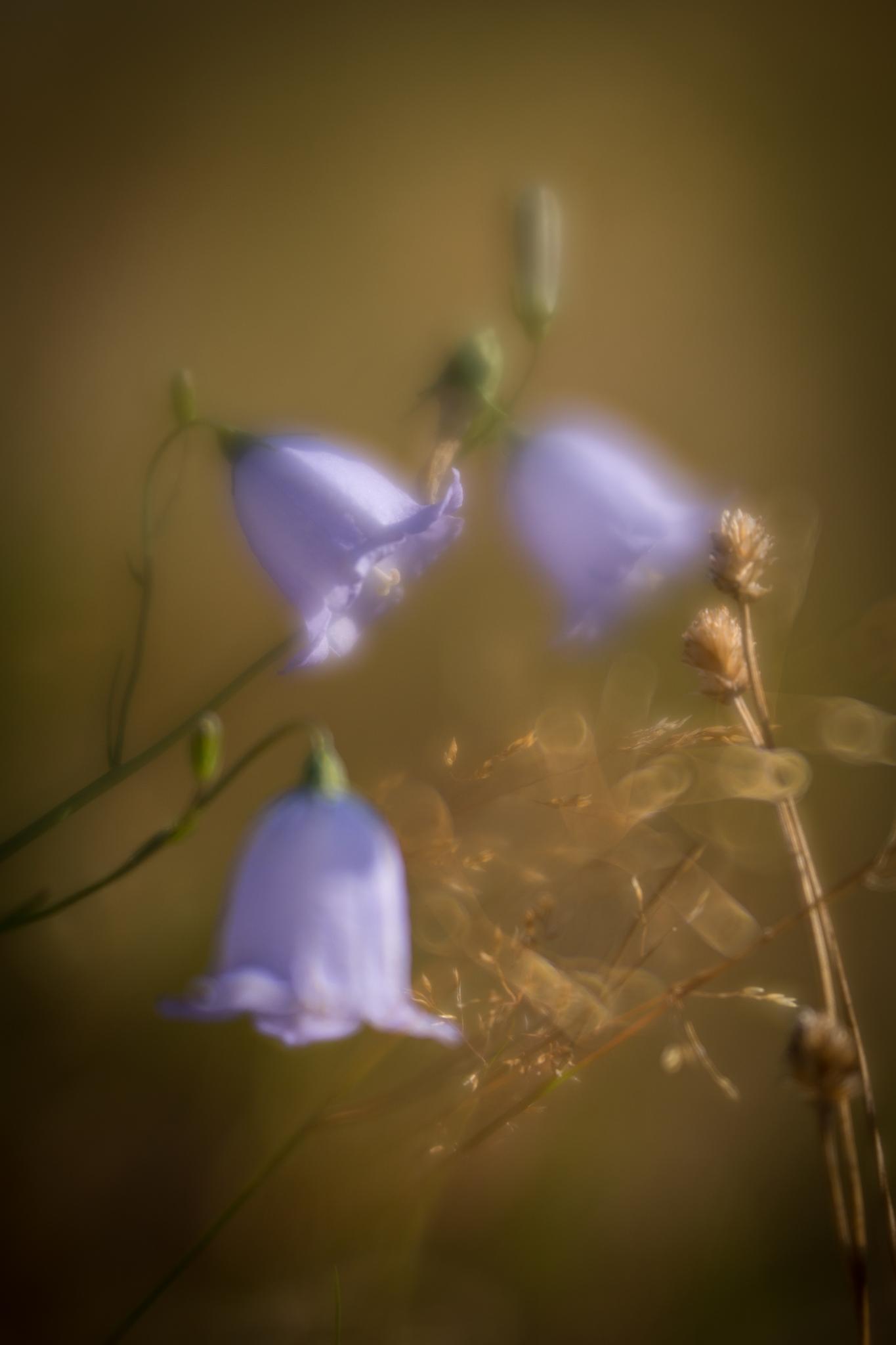 Harebells on Malvern common by Seonaid Teal Photography