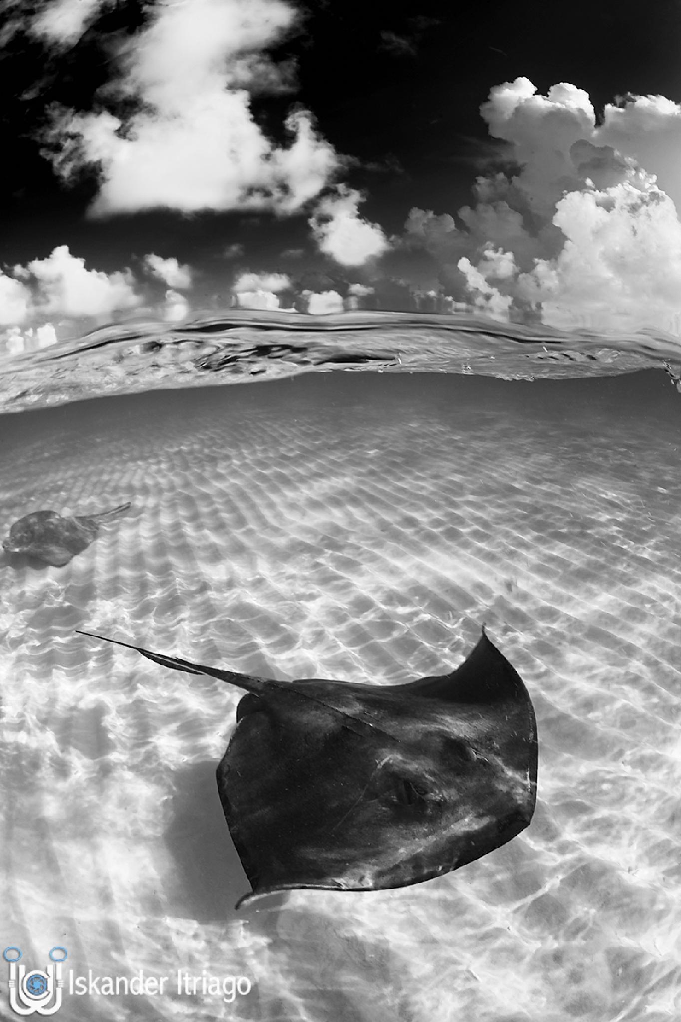 Photo in Black and White #sandbar #grandcayman #caribbean #overunder #b&w #stingray #wild #drama #underwater