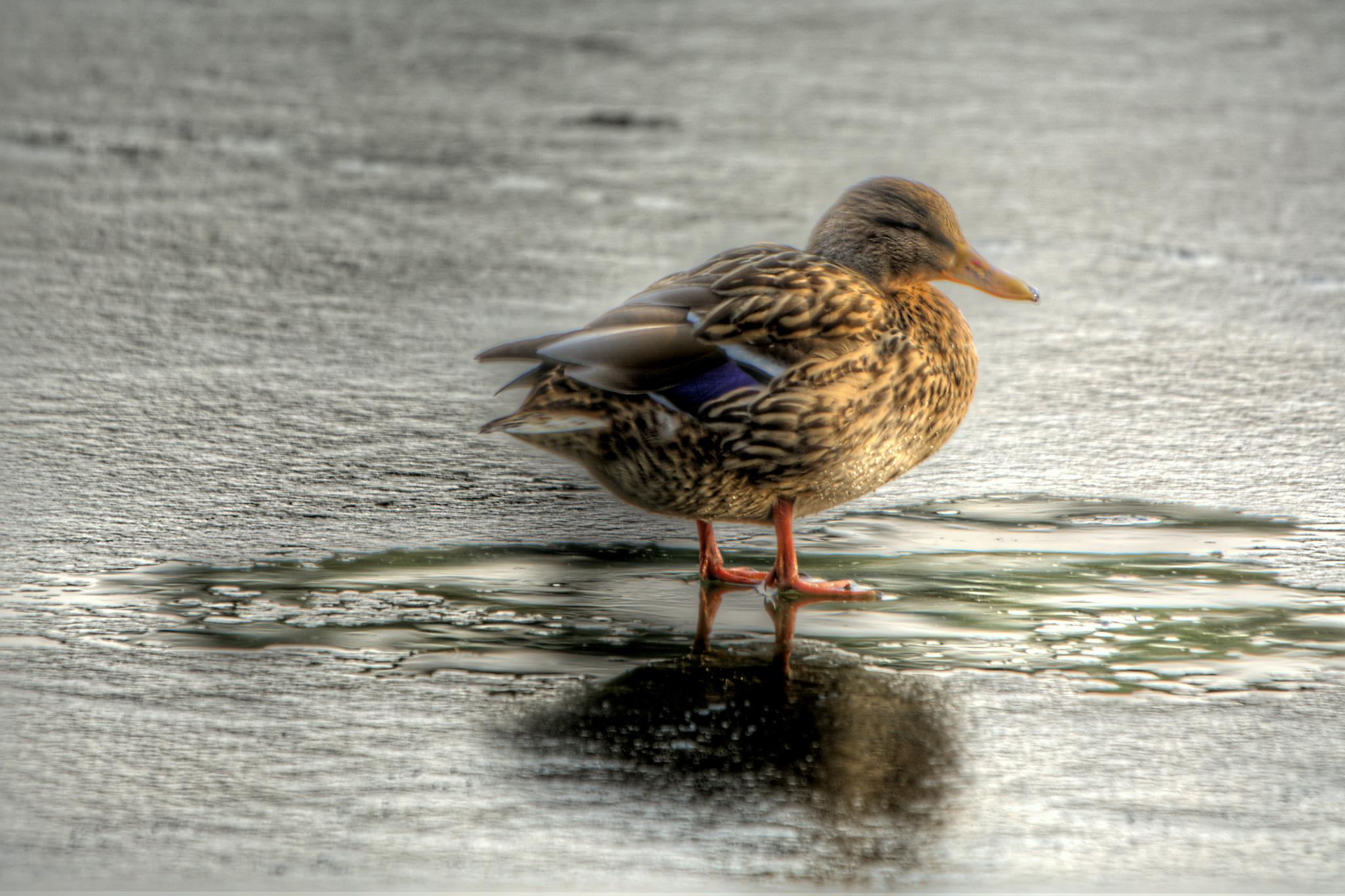 Duck on thin ice by Nic Piégsa