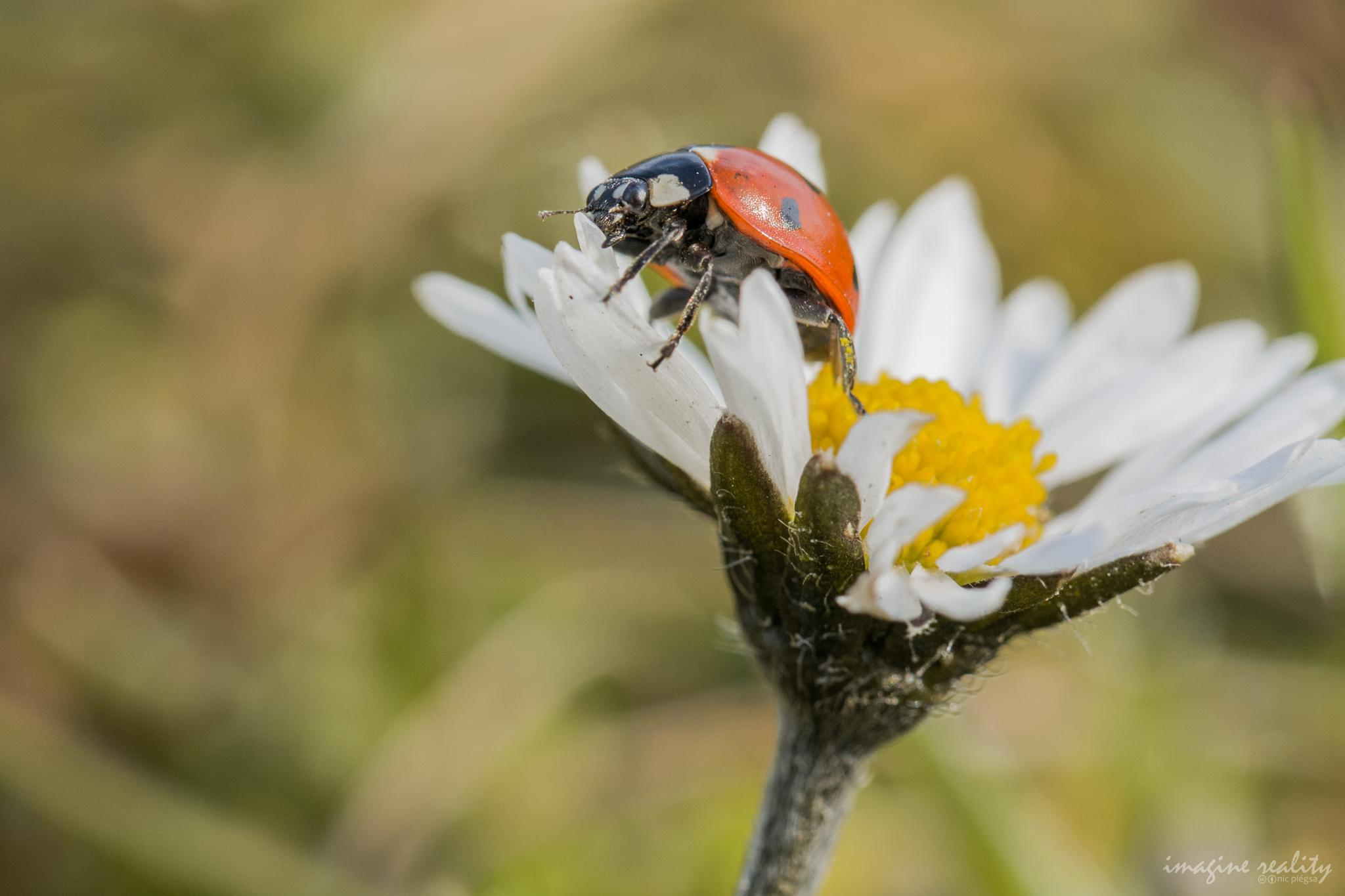 Ladybird on Lawn Daisy by Nic Piégsa