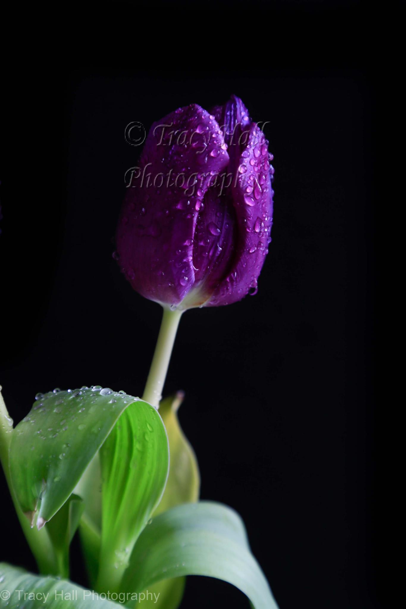 Deep Purple by TracyHall