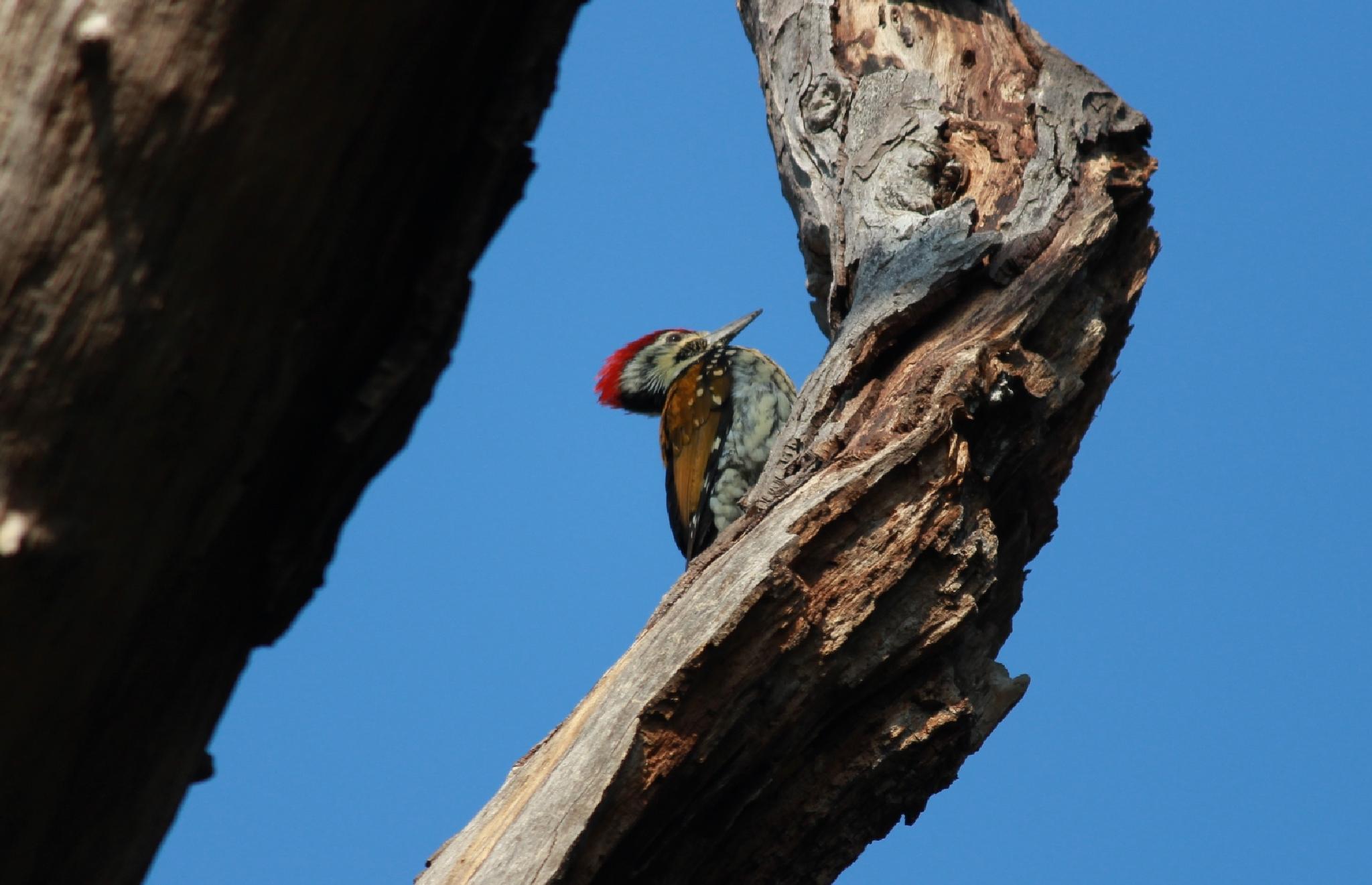 Flameback Woodpecker by Piyush R. Sharma