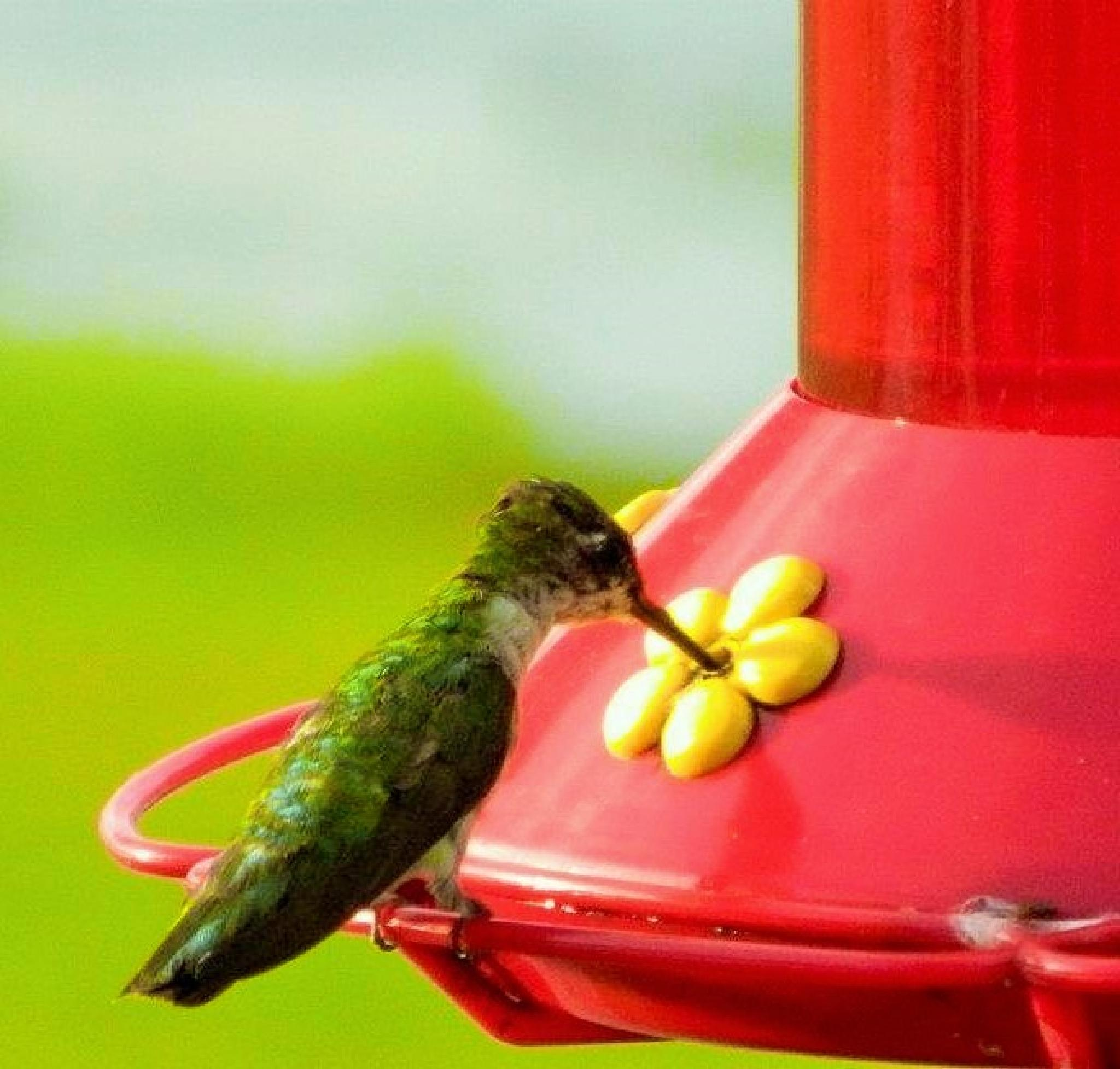 humming bird by strimlett