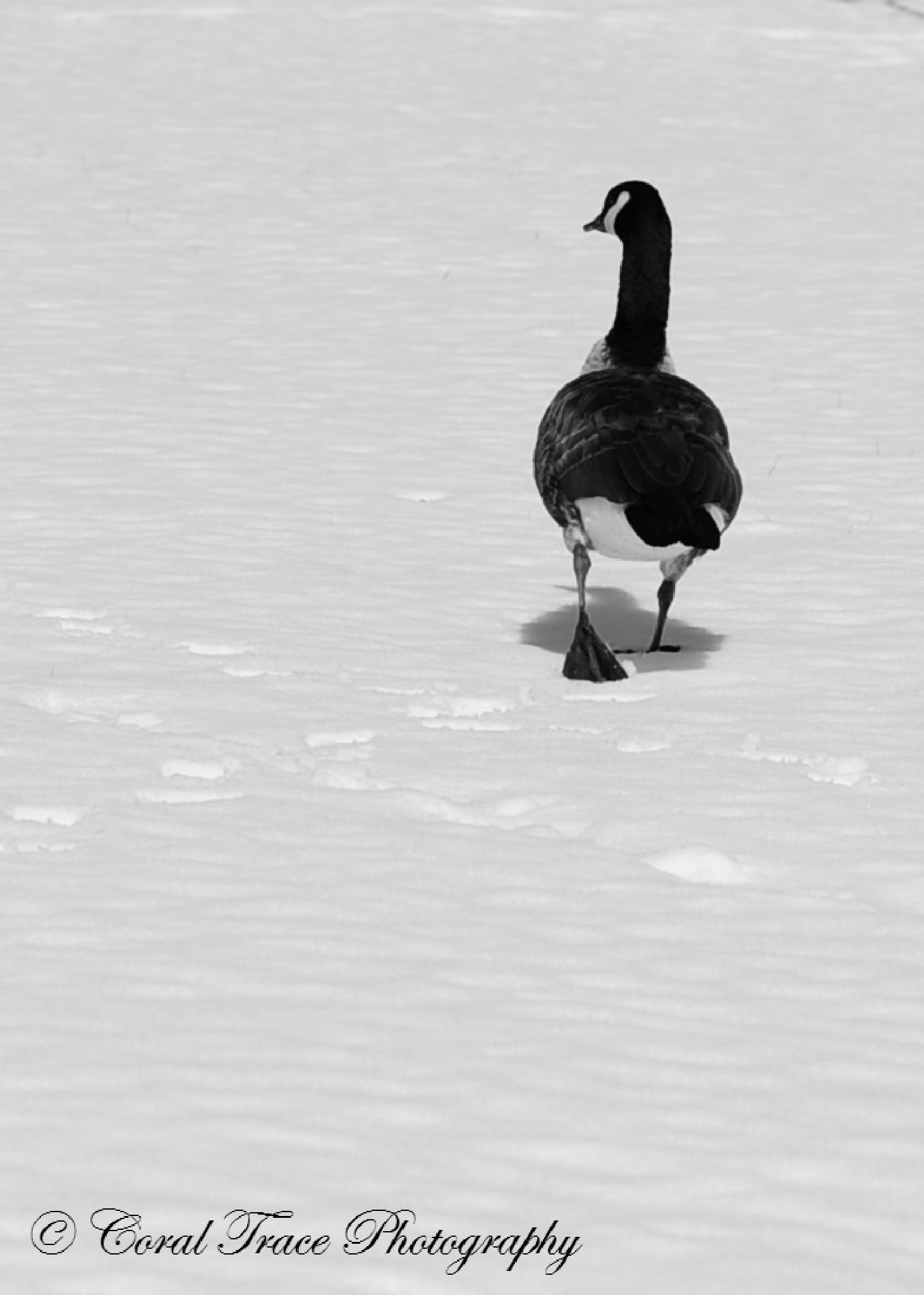 Winter Waddle by Laurie