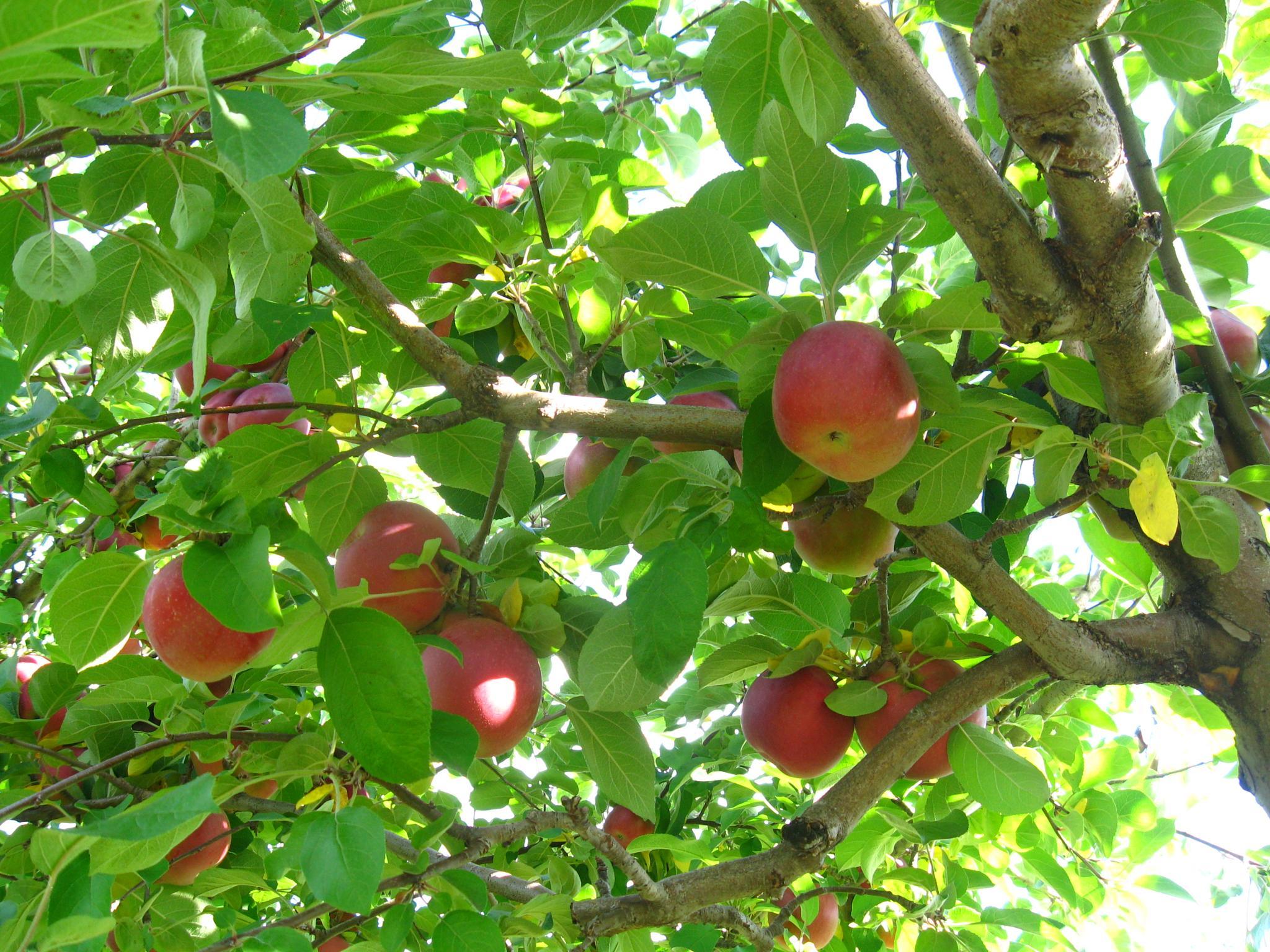 apple pickin by pauline
