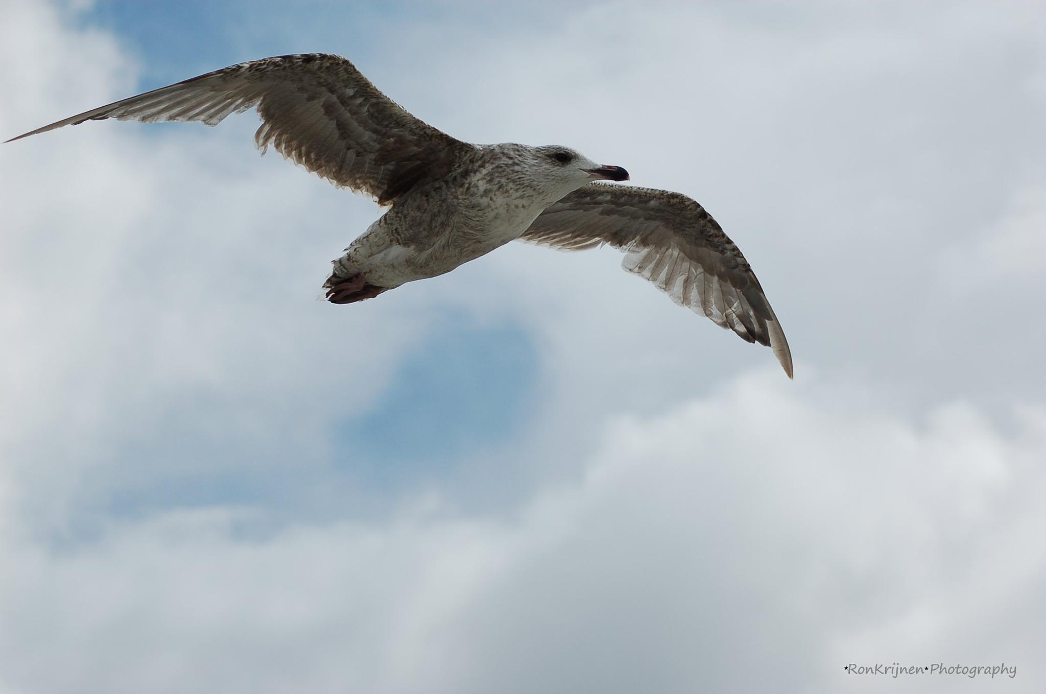 Seagull by ron.krijnen