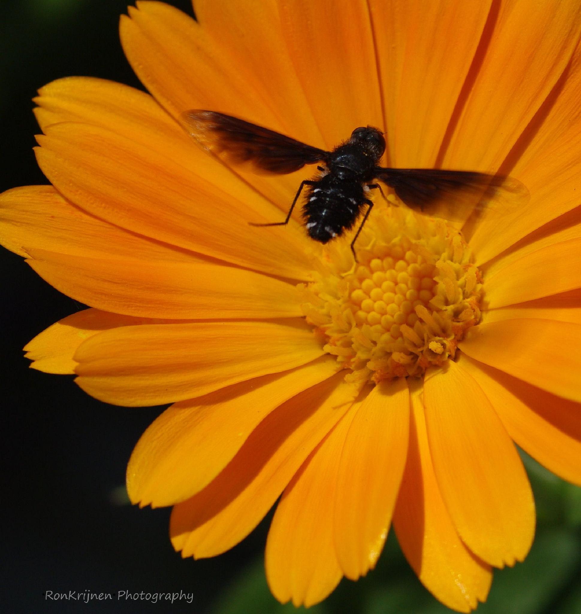 Fly approach flower by ron.krijnen