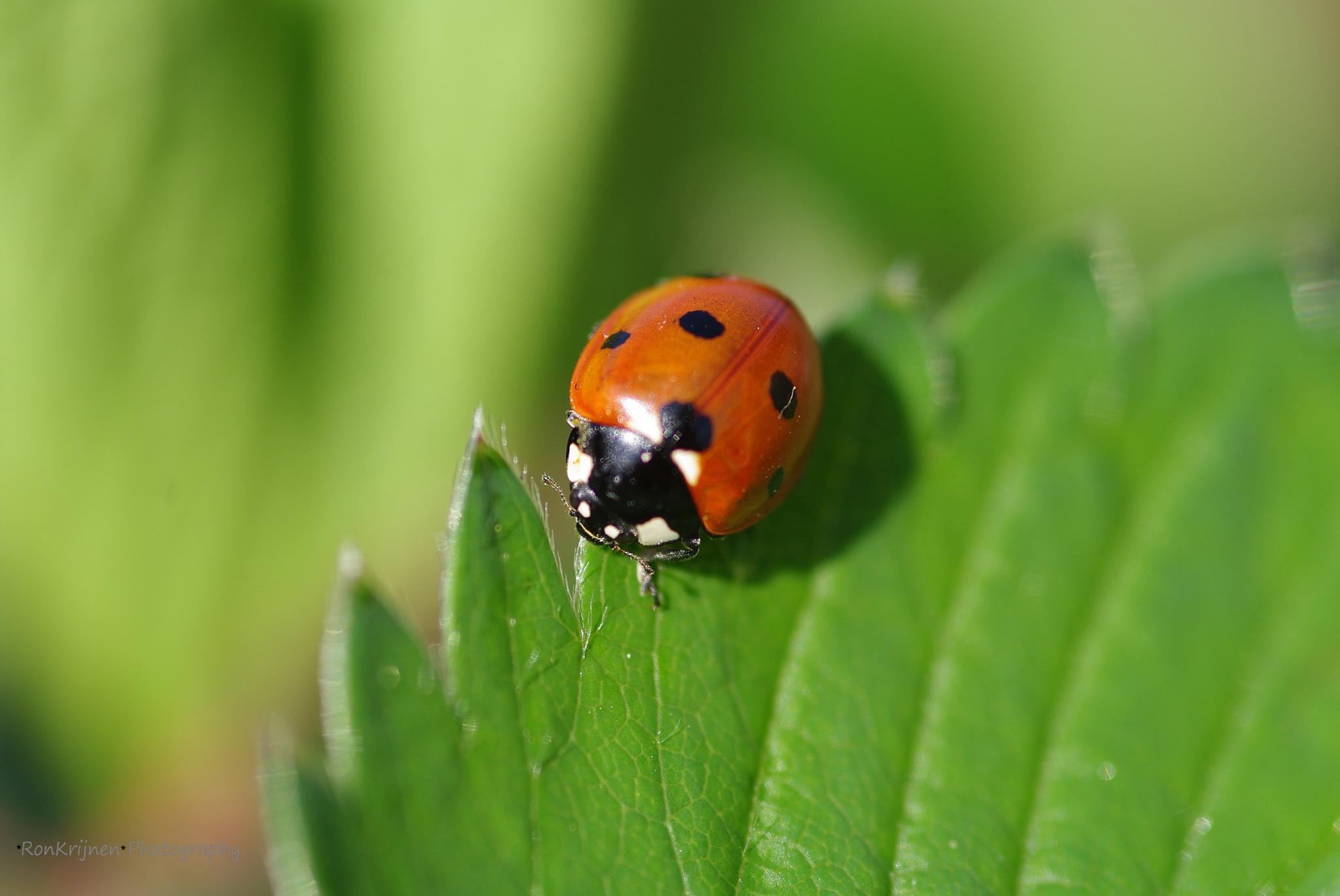 Lady bug by ron.krijnen