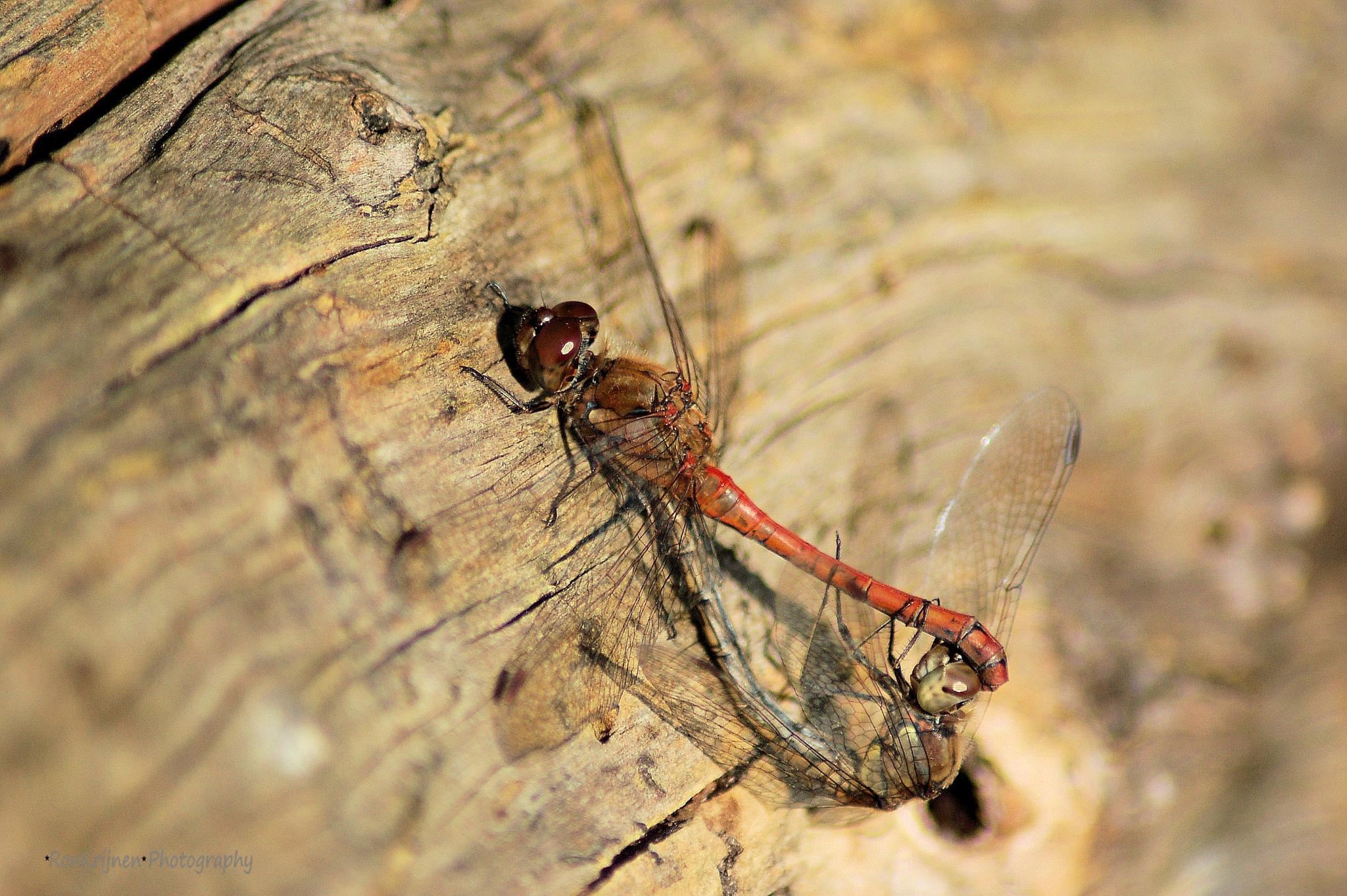 Dragonfly by ron.krijnen