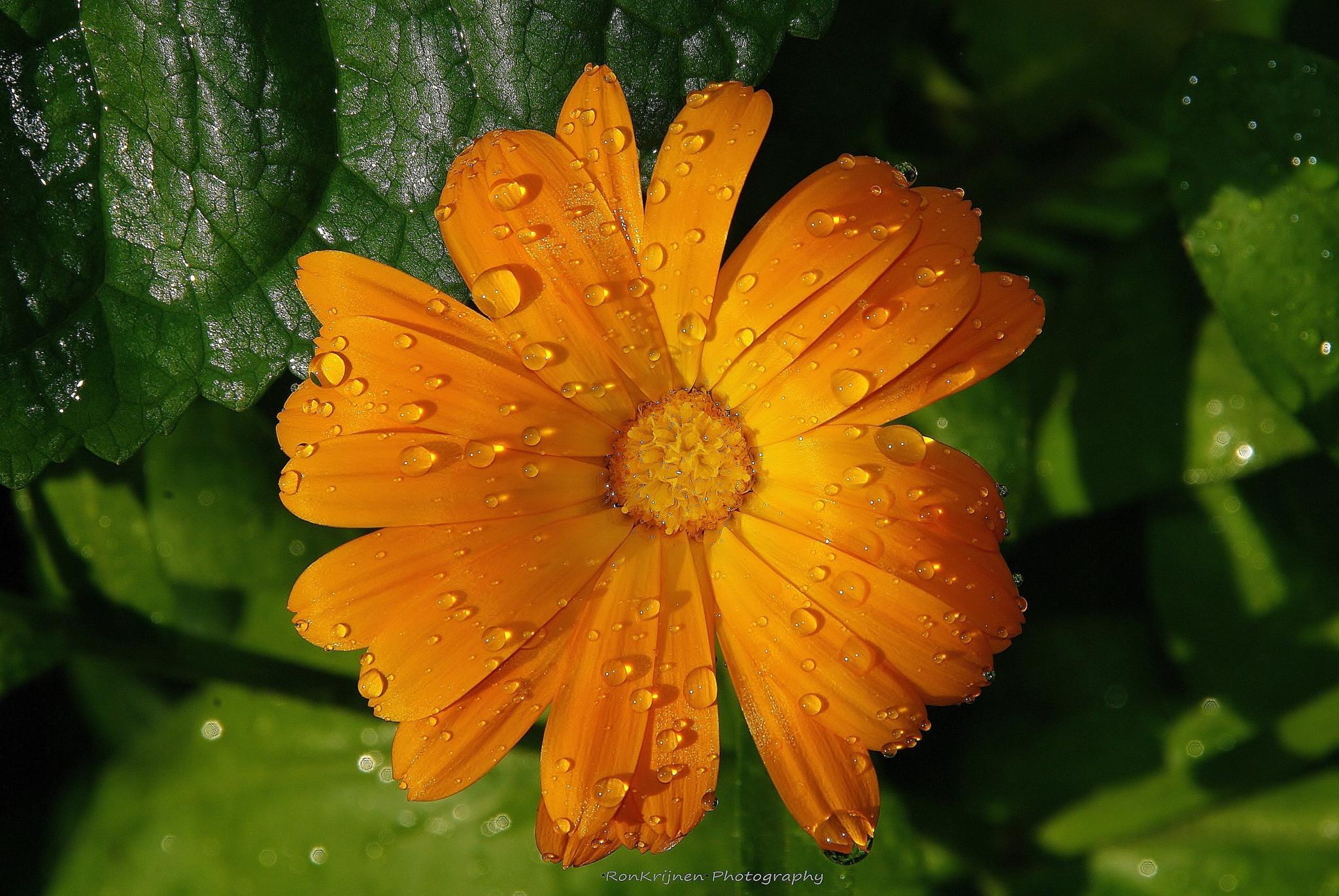 raindrops on a orange flower by ron.krijnen