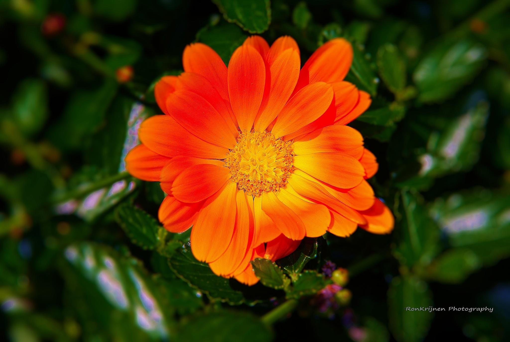 orange flower by ron.krijnen