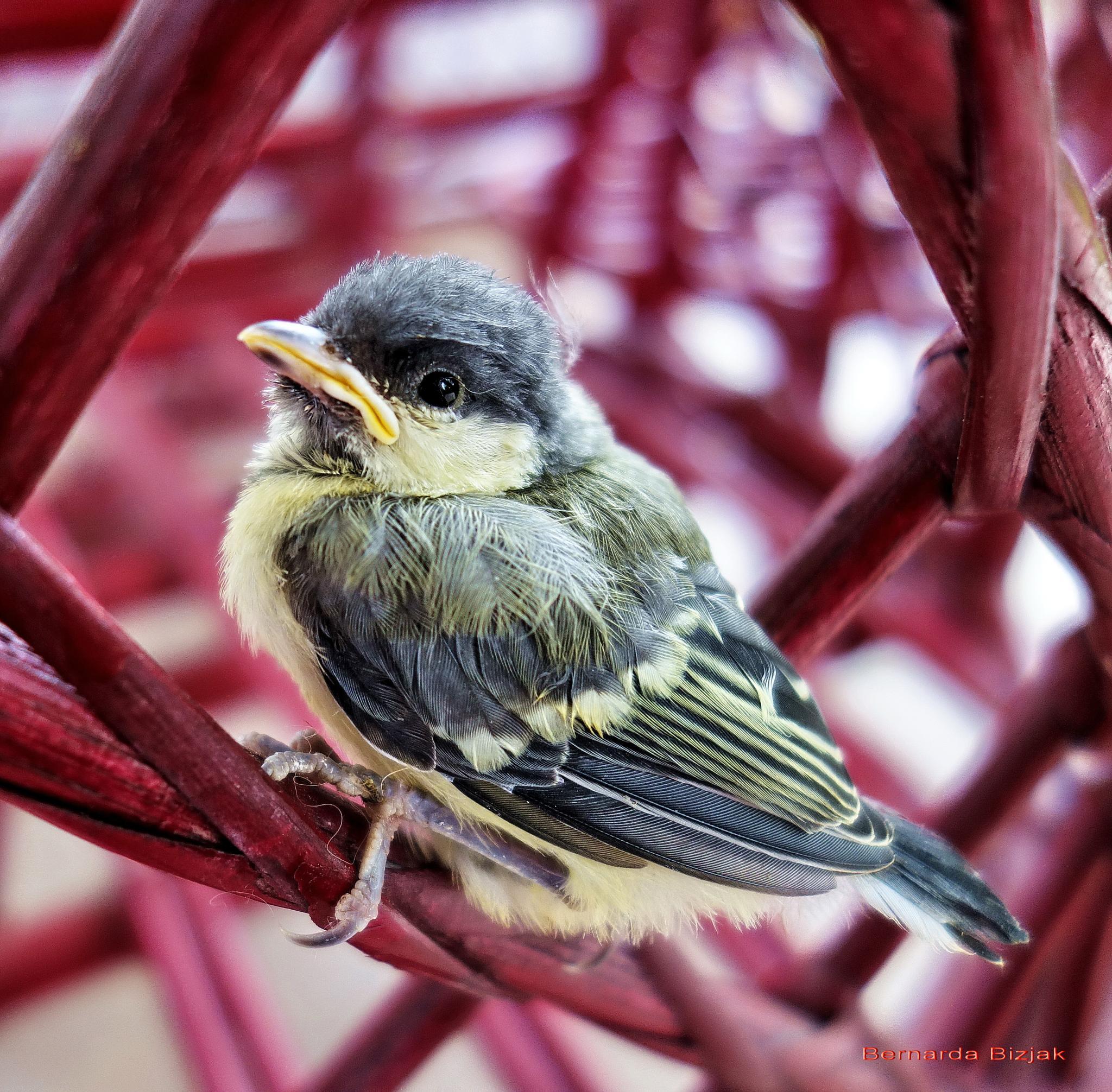 titmice just from nest by BernardaBizjak