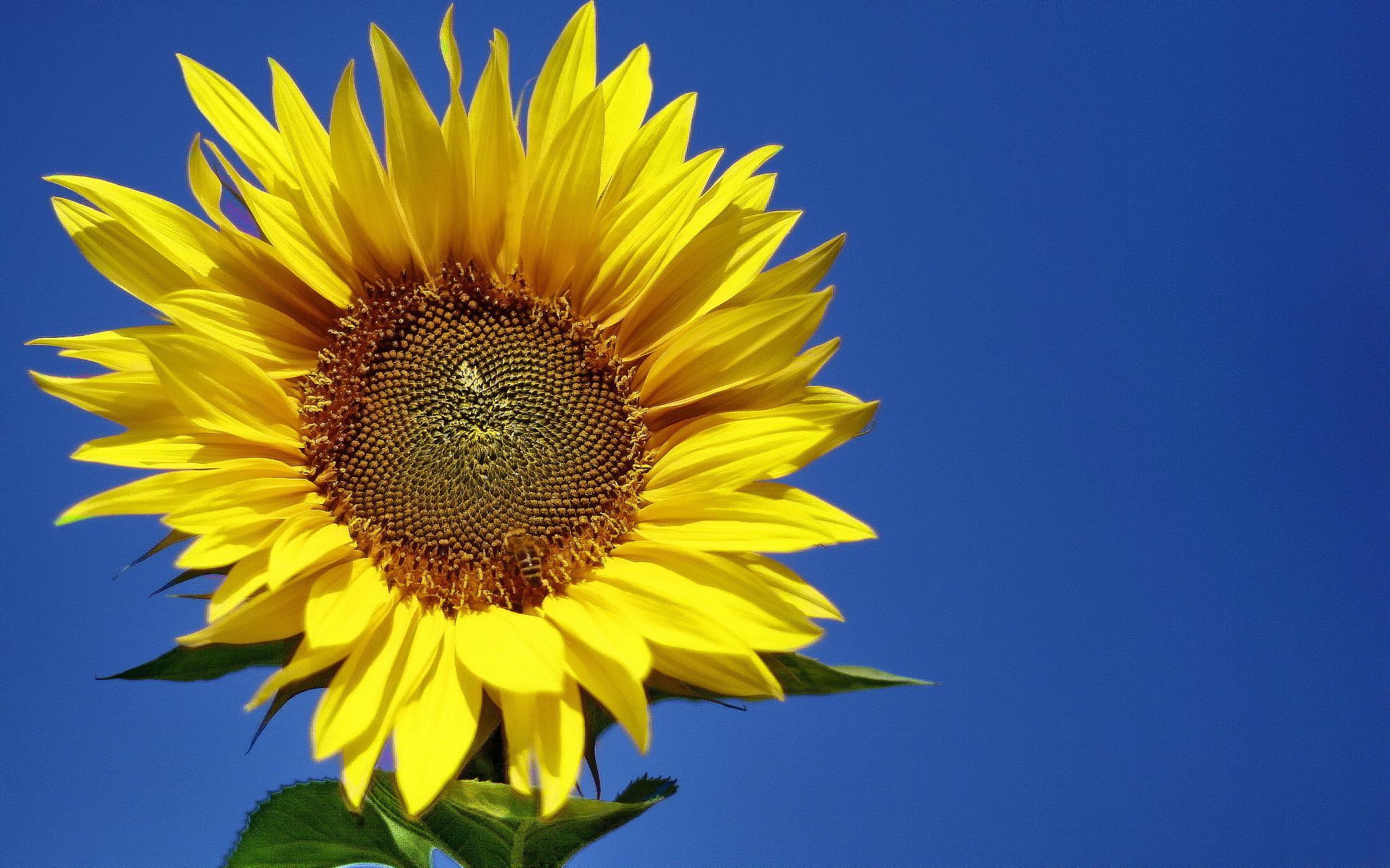 little bee on sunflower by BernardaBizjak