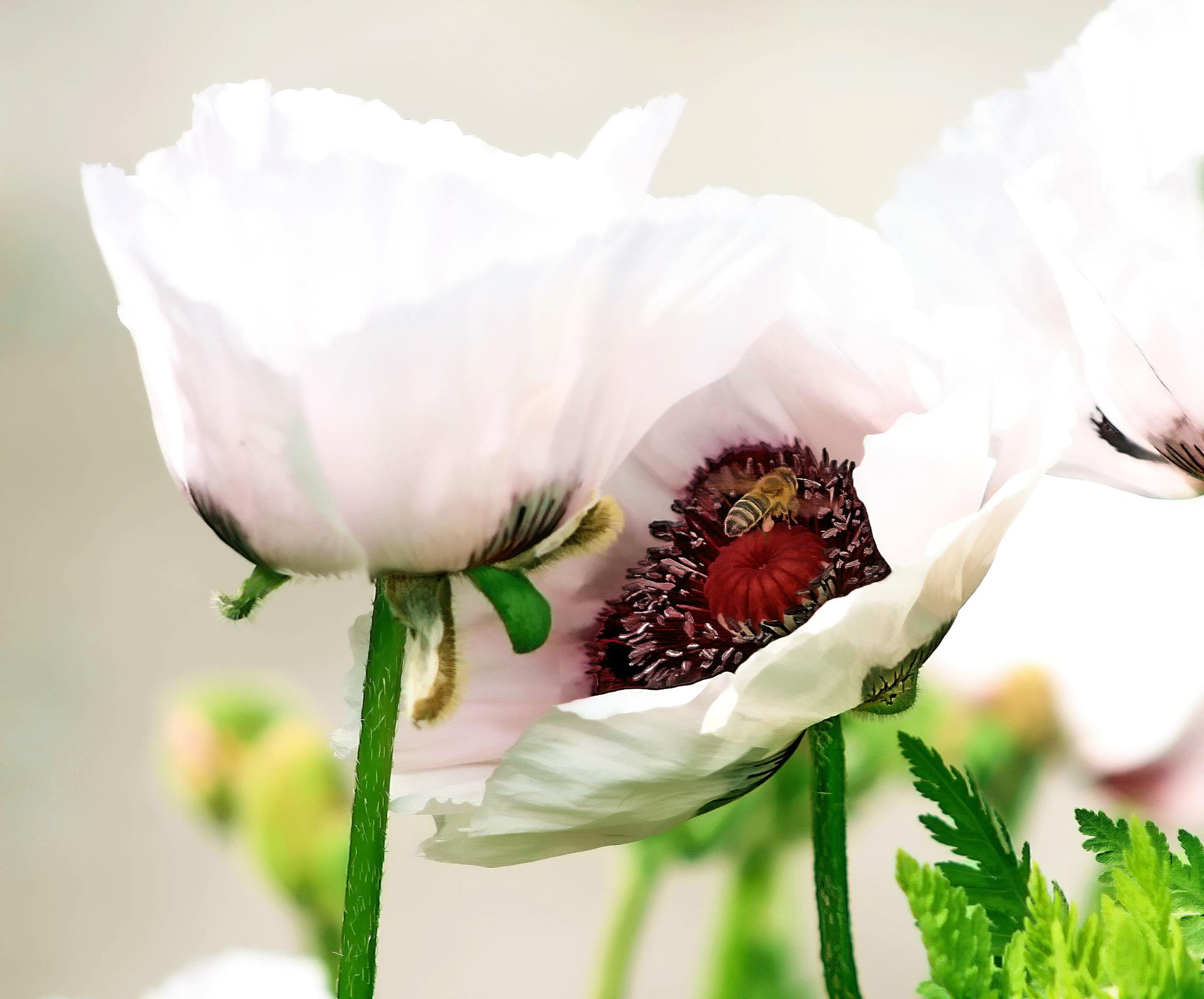 white poppy with bee by BernardaBizjak