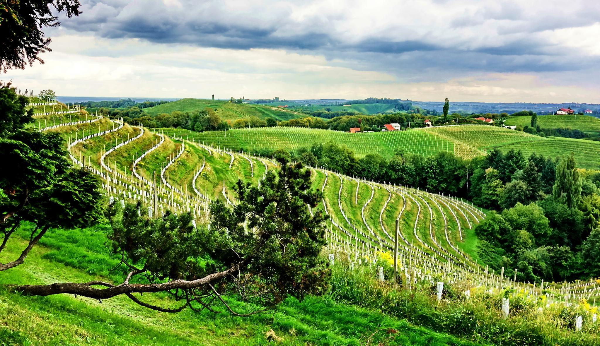Jeruzalem vineyard, Slovenia by BernardaBizjak