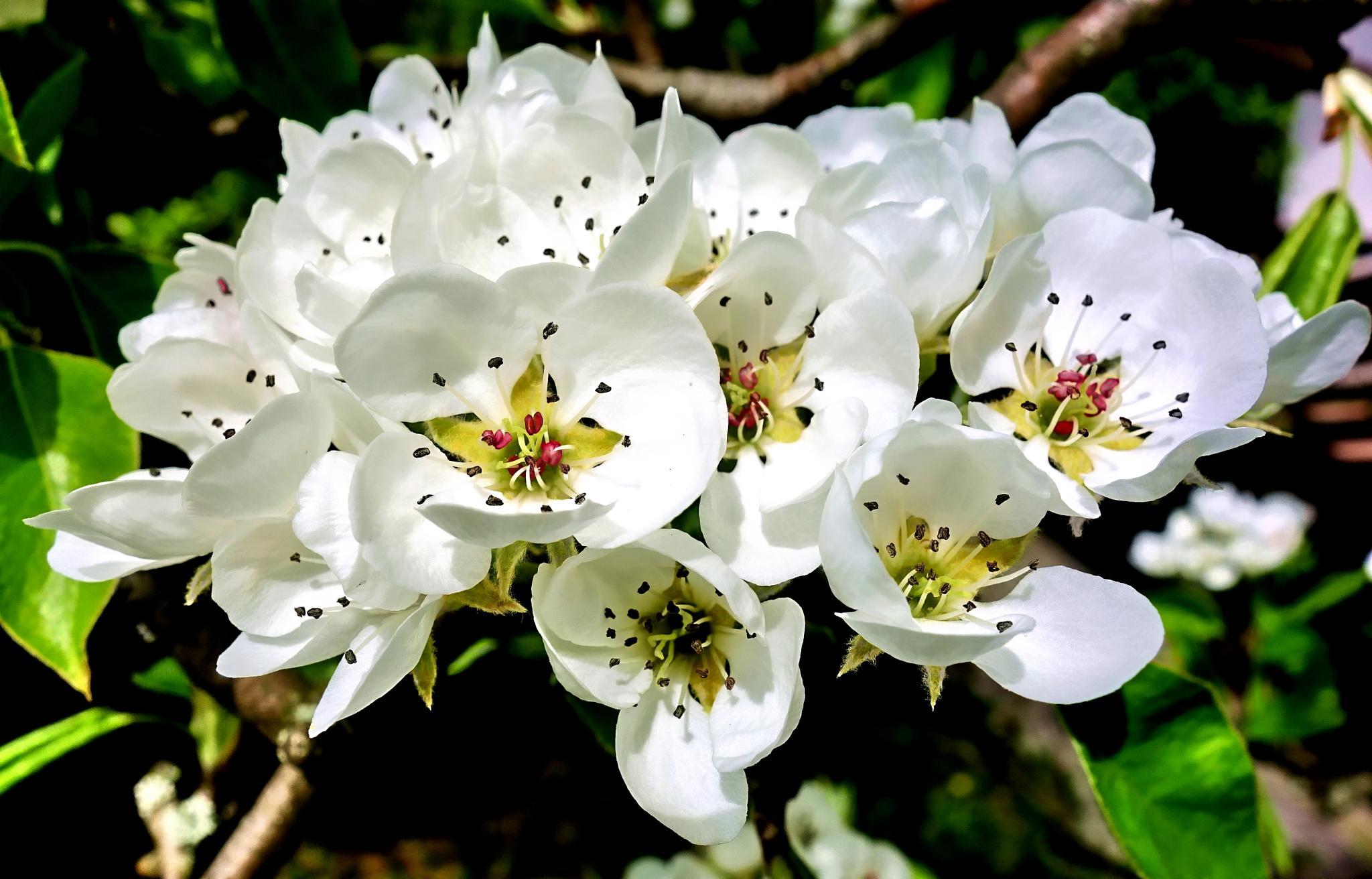 pear but wake up... blossom rapsody by BernardaBizjak