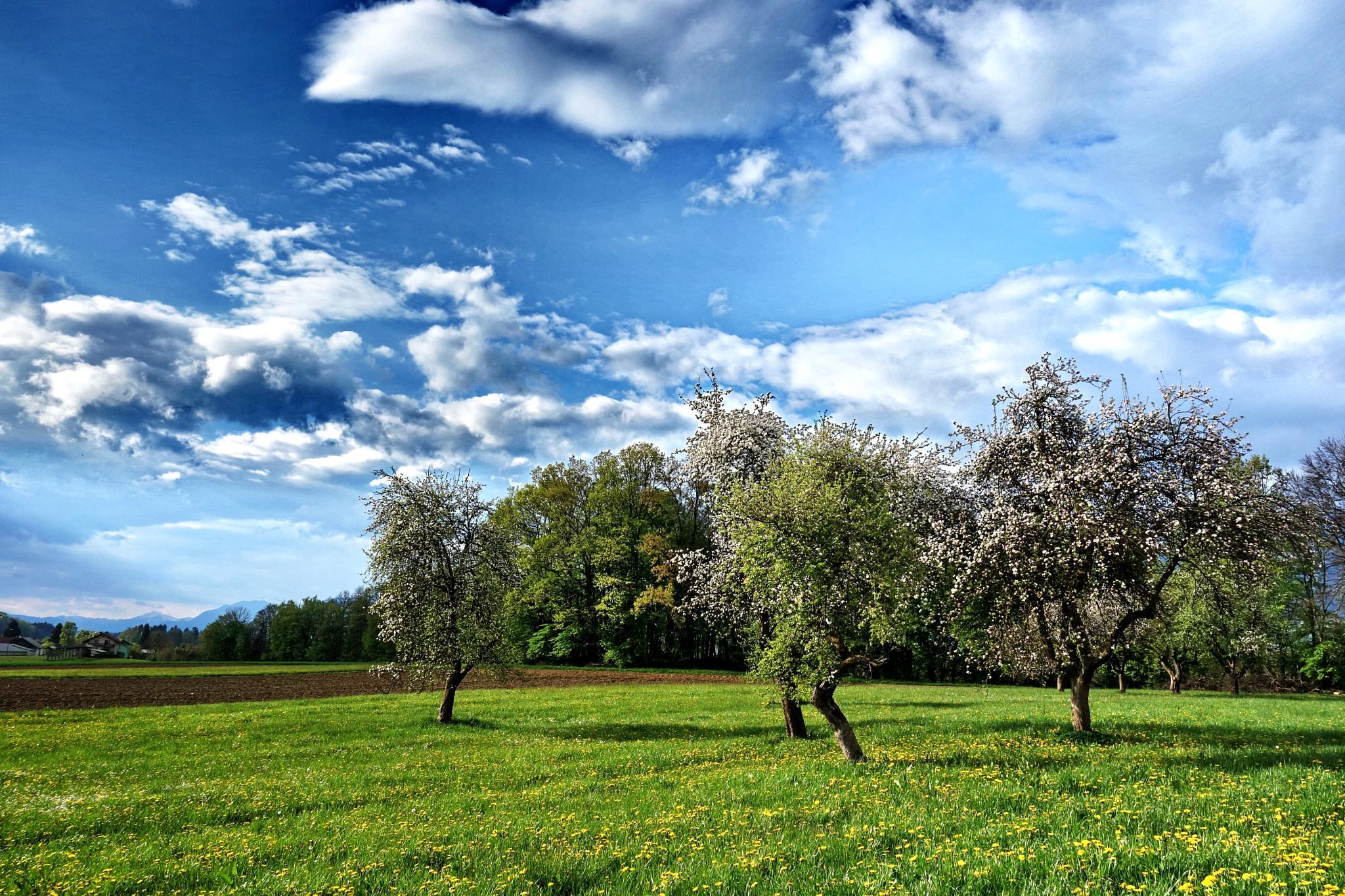 trees in blossom, spring in Gorenjska region by BernardaBizjak
