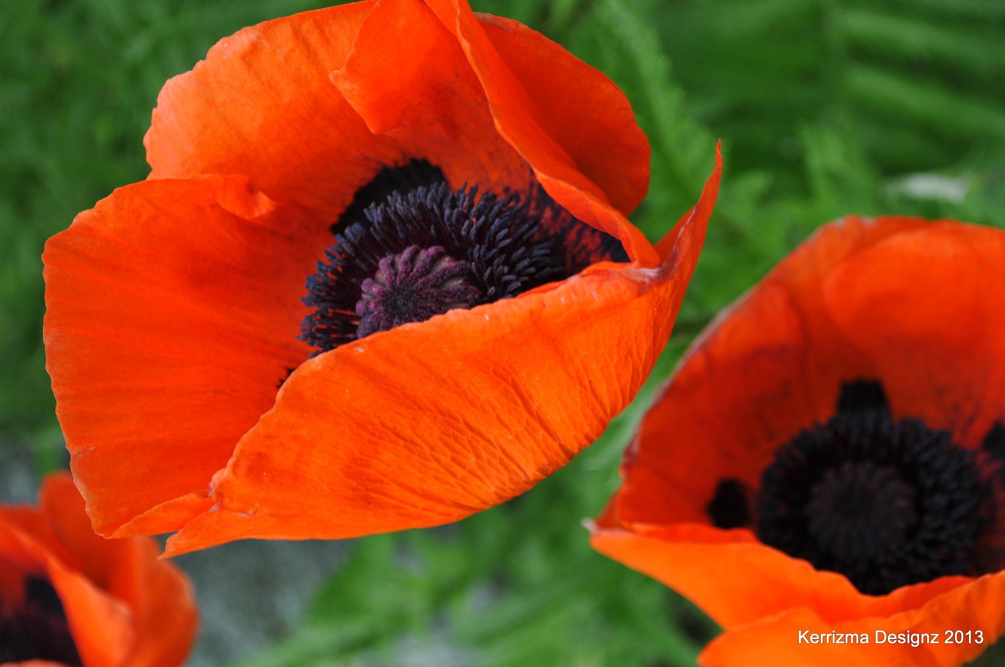 Poppies in Wilton by Kerri L. Bickford