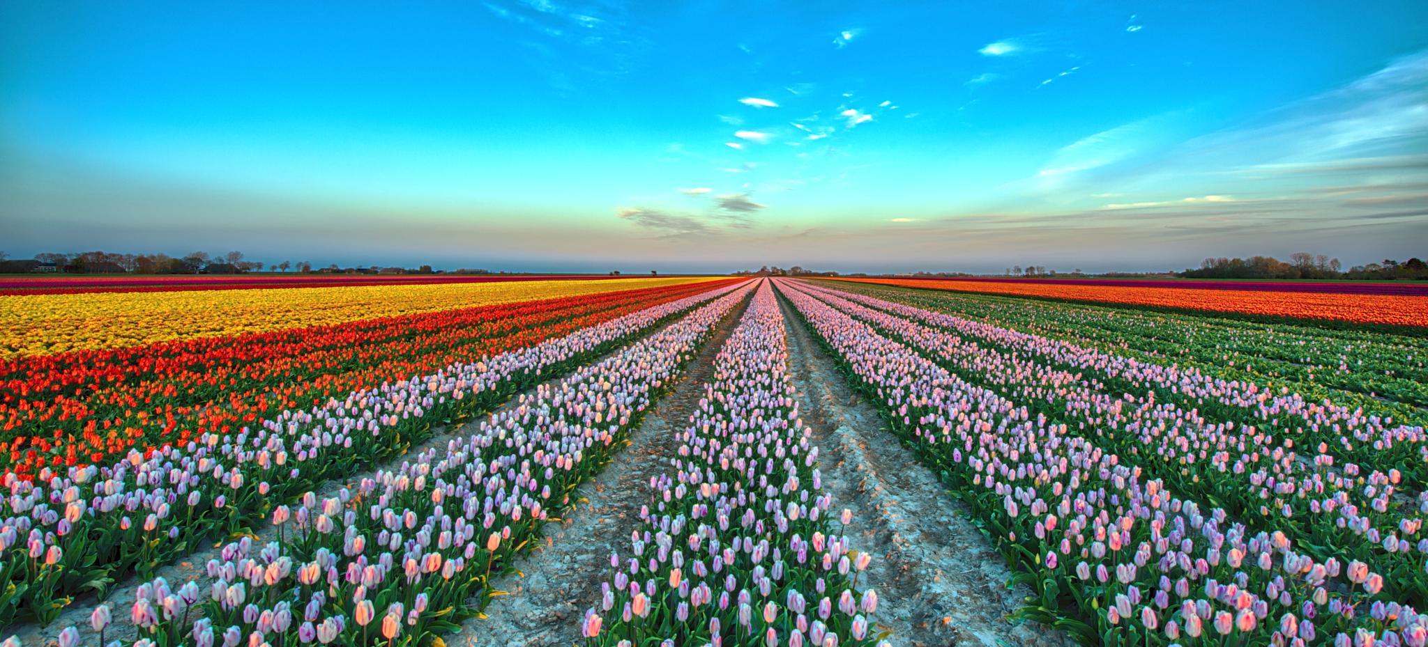 Tulips HDR by R van Wijk