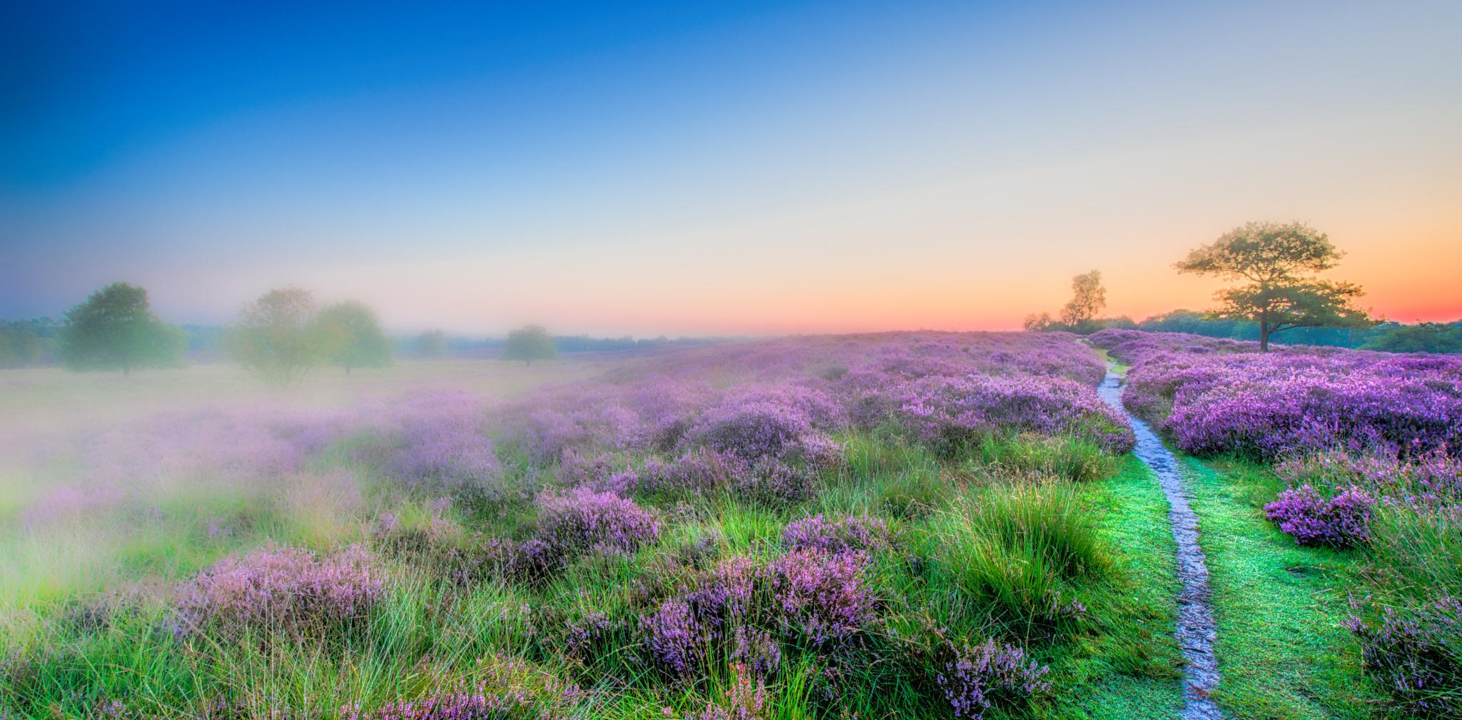 Good Morning flowering Heather by R van Wijk