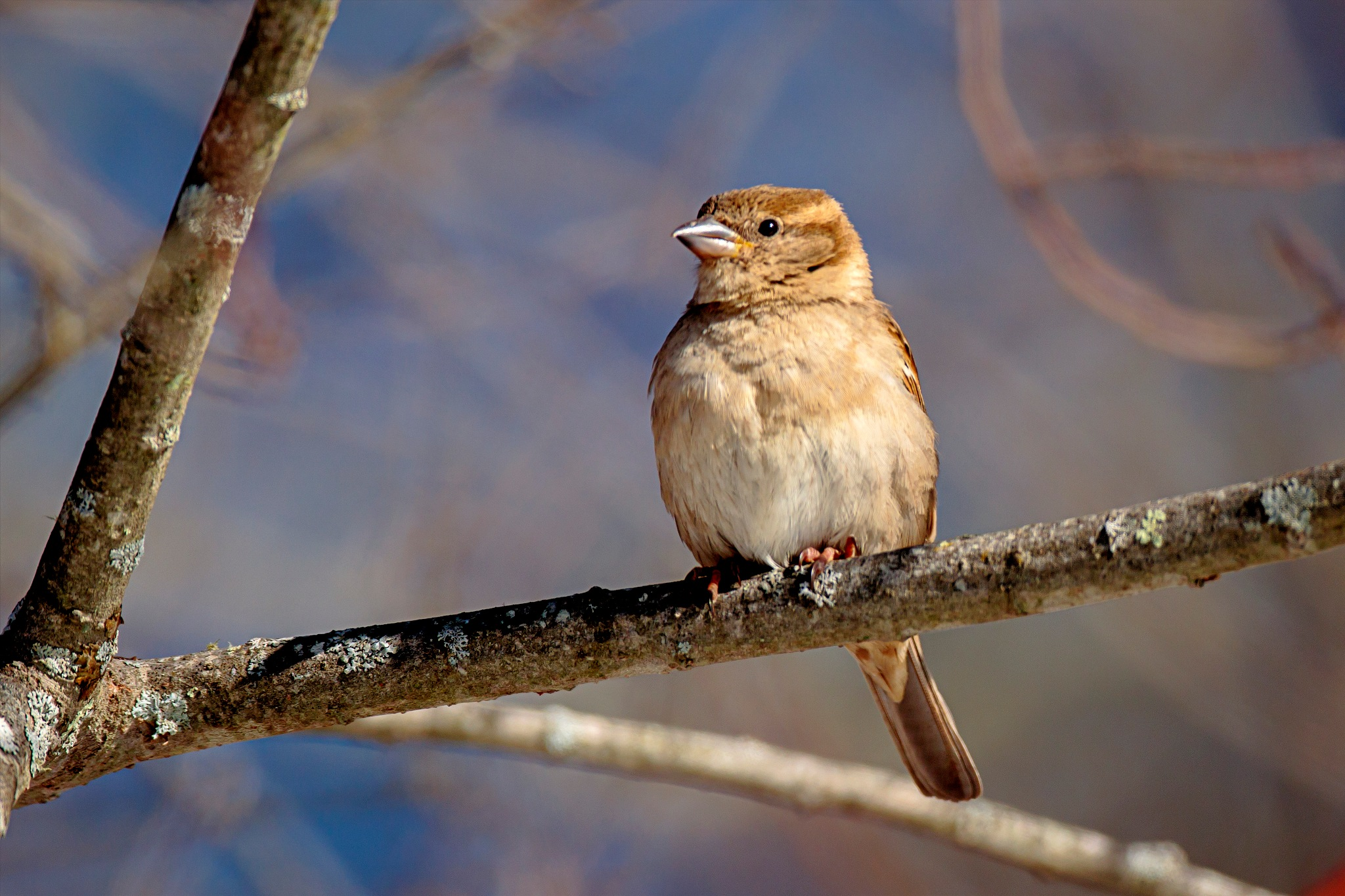 Song Sparrow by almartinez