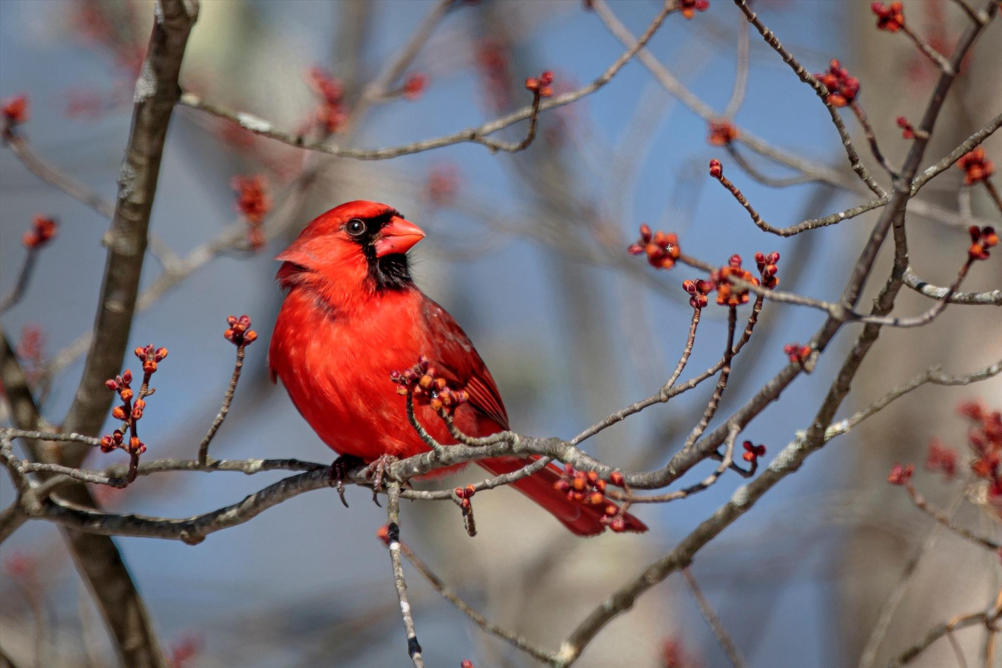 Cardinal  by almartinez