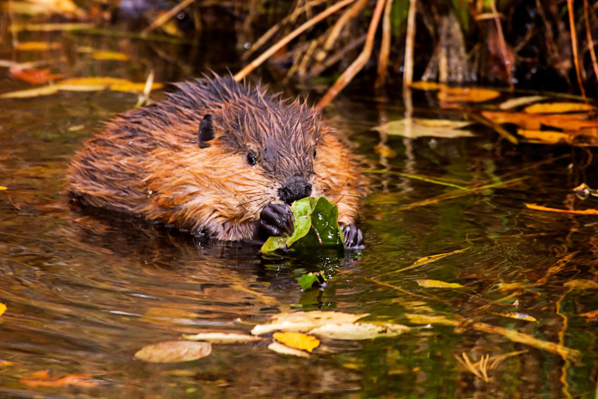Beaver Eating by almartinez