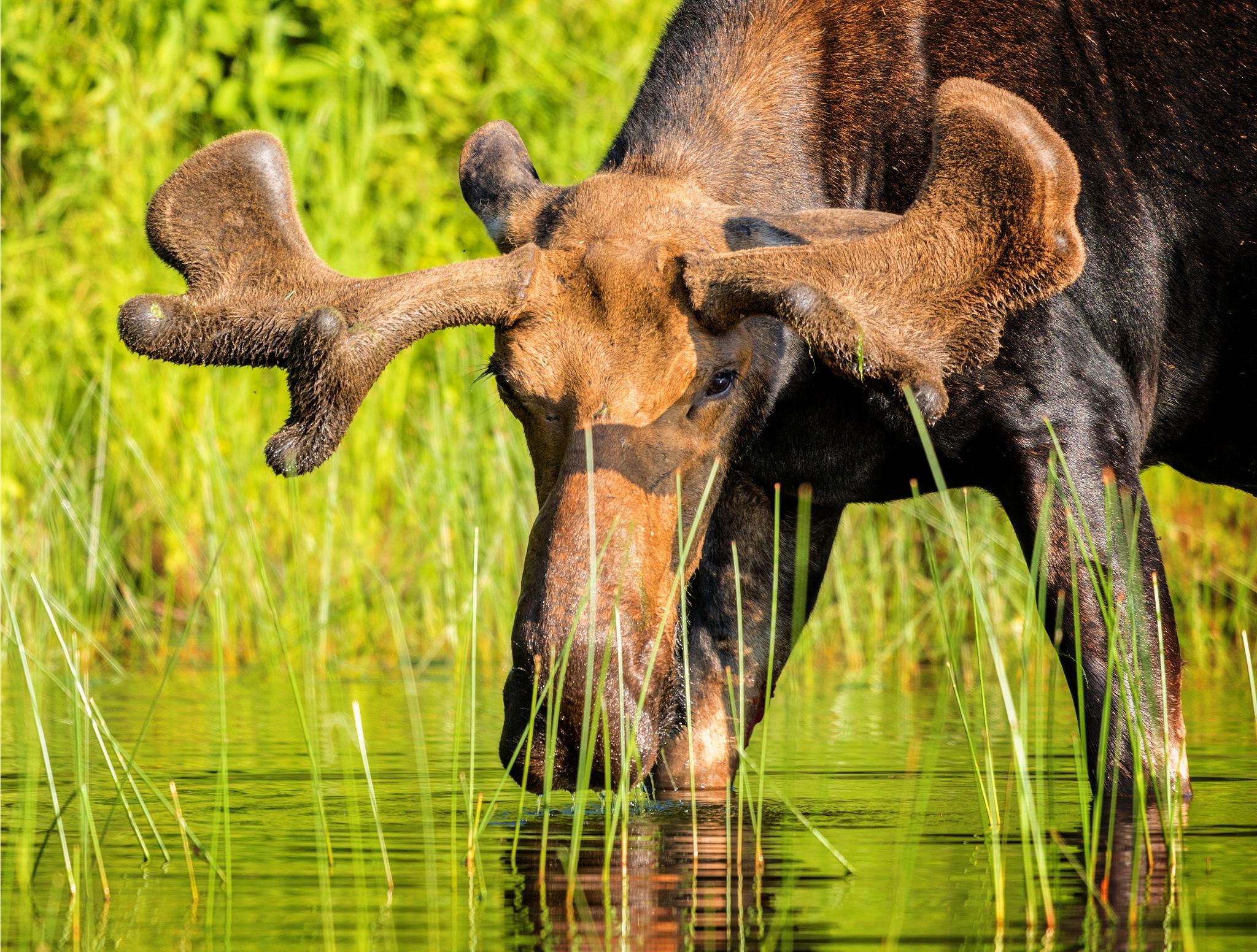 Bull Moose by almartinez