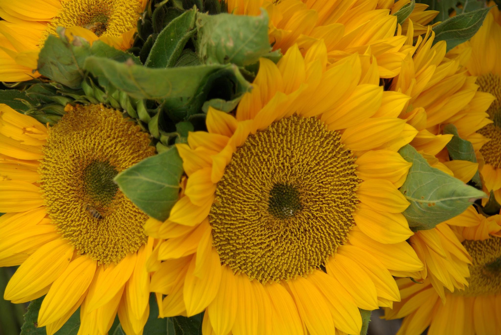 sunflowers by ritagrazia.picagli