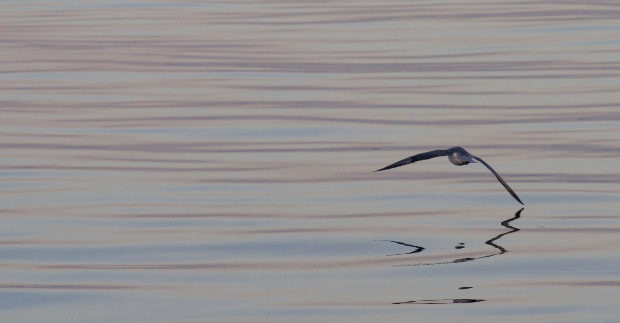 fulmar over calm sea by Gordon Dryden