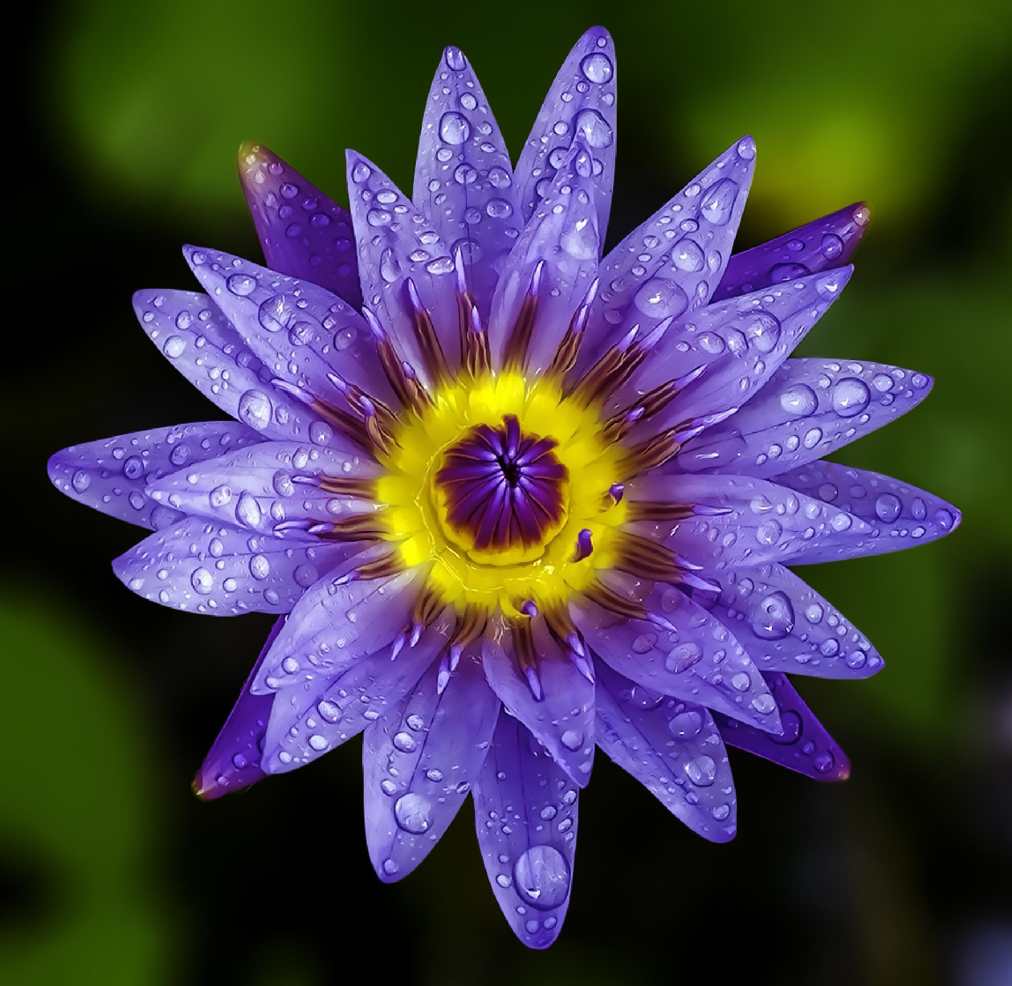 waterlily by asher