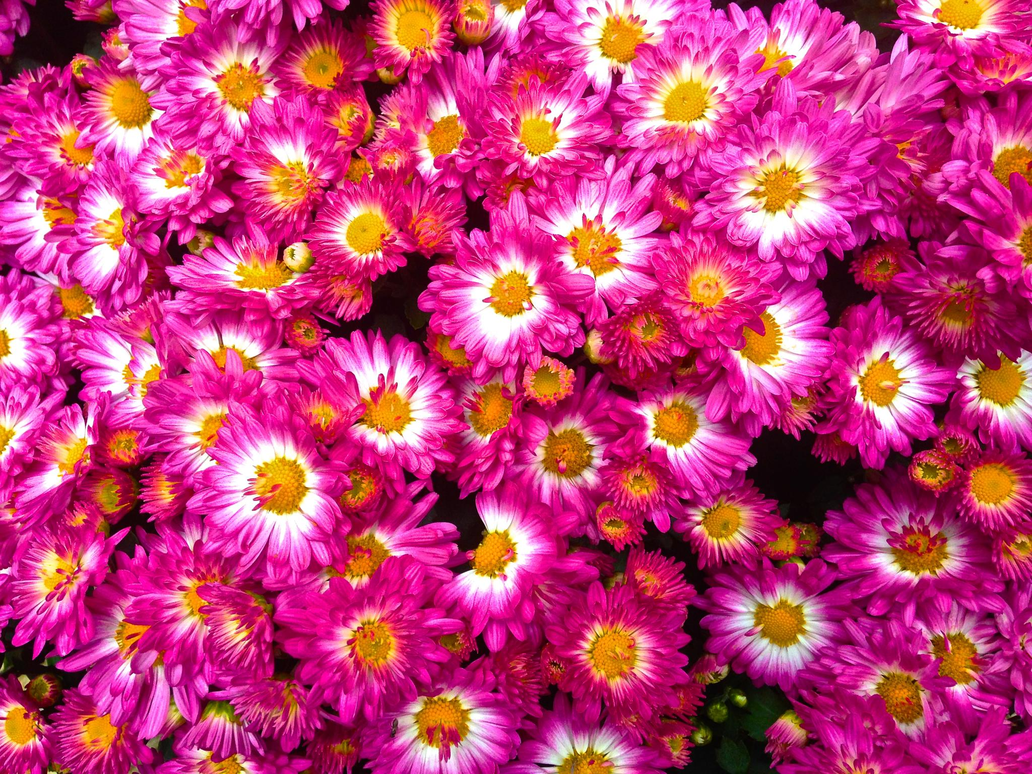 Autumn Mums by scausby1