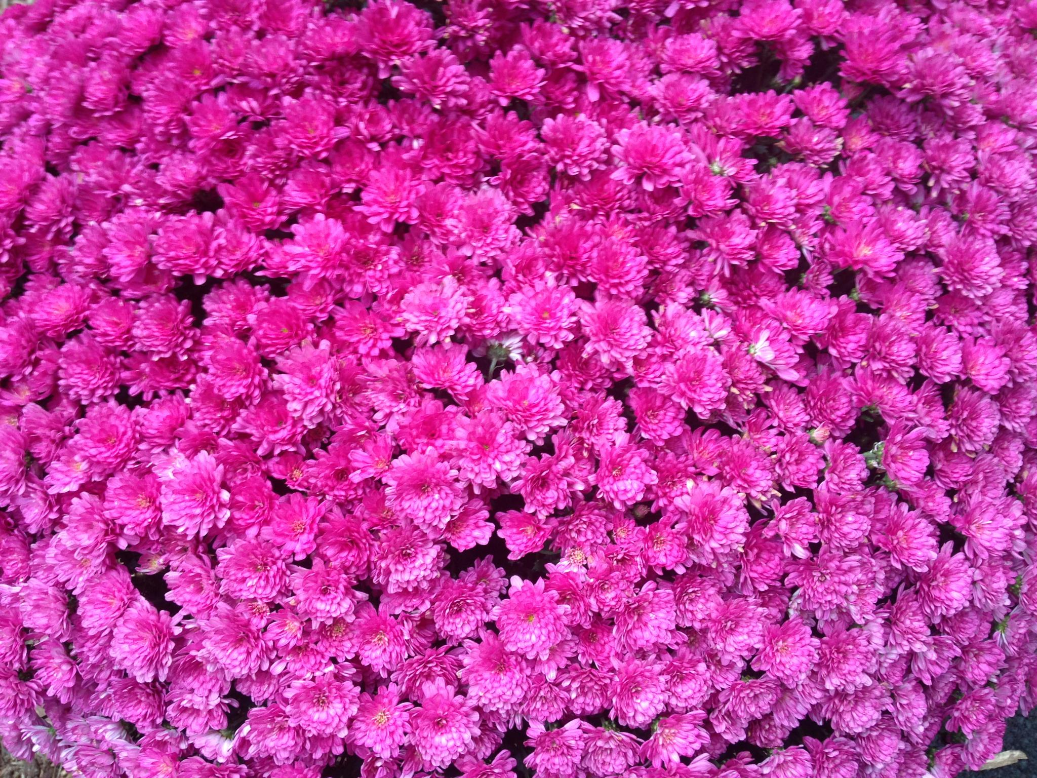 Carpet of Mums by scausby1