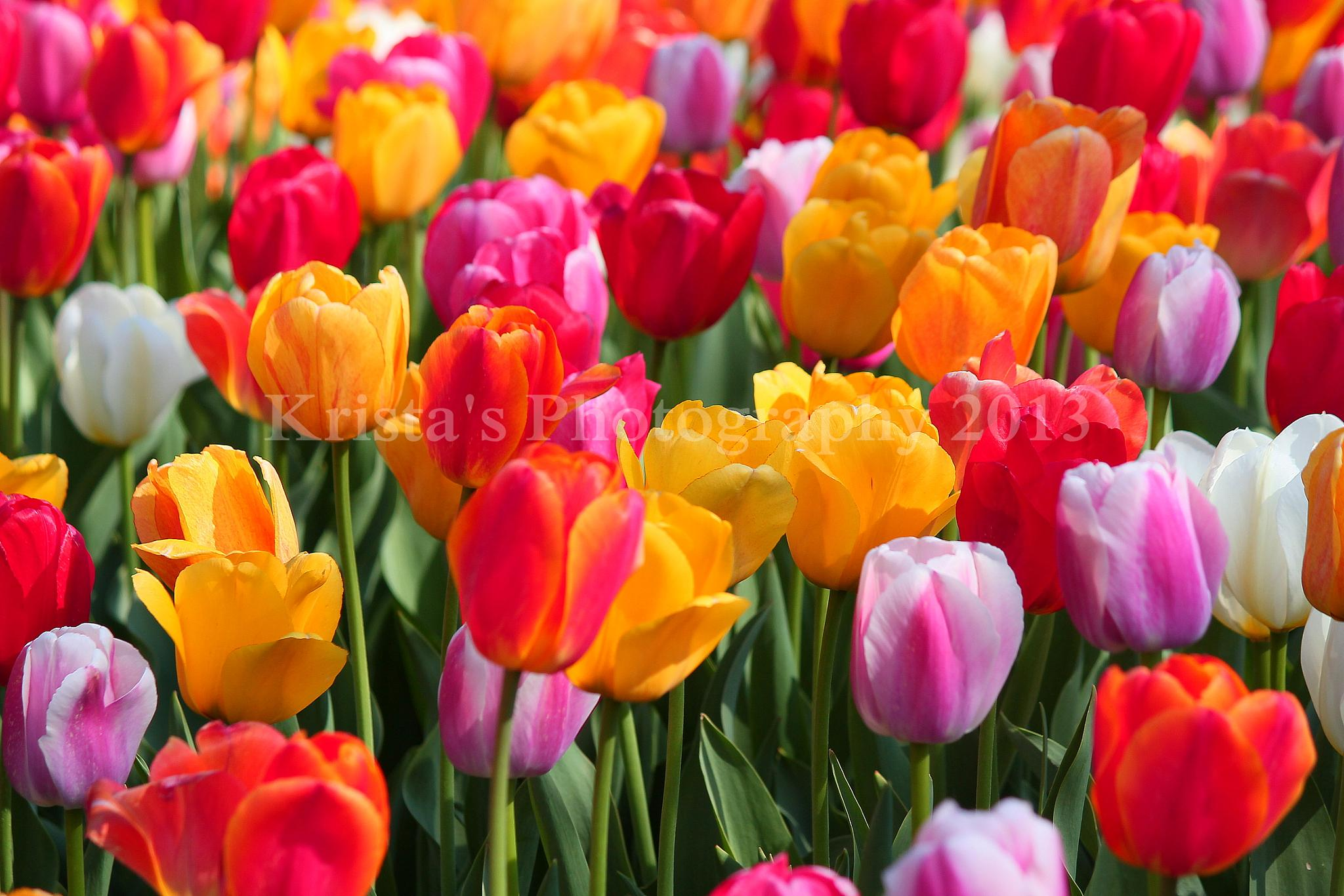 Beautiful colorful Tulips 2013 by LincolnNebraskaGardens.15