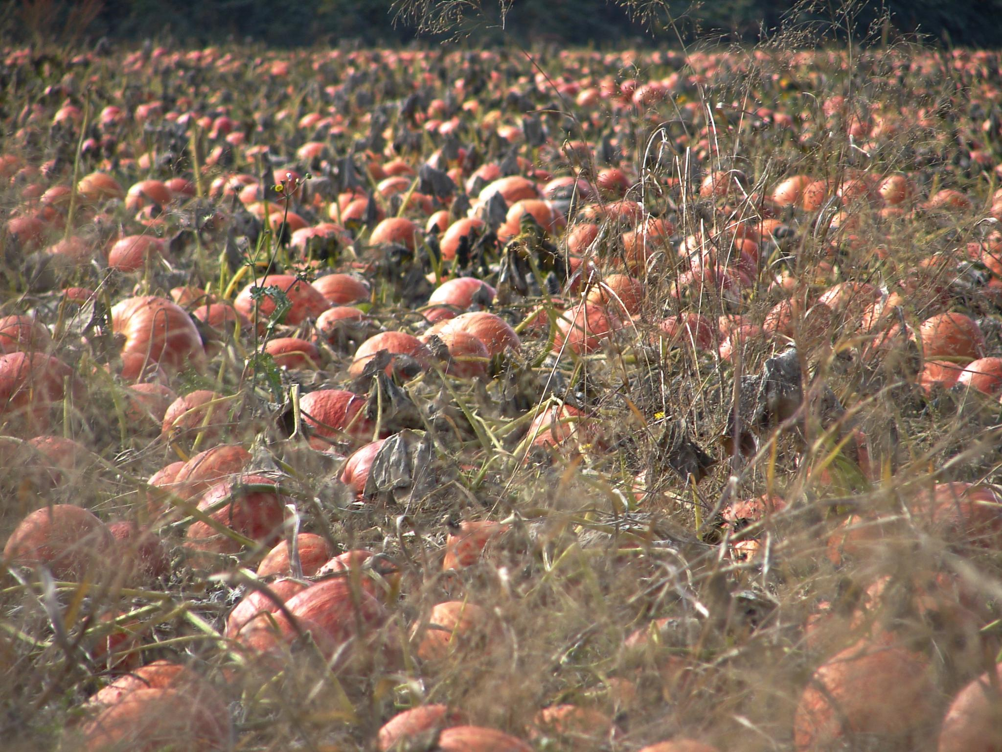 Pumpkin Field 1 by MelanieAnnePhillips