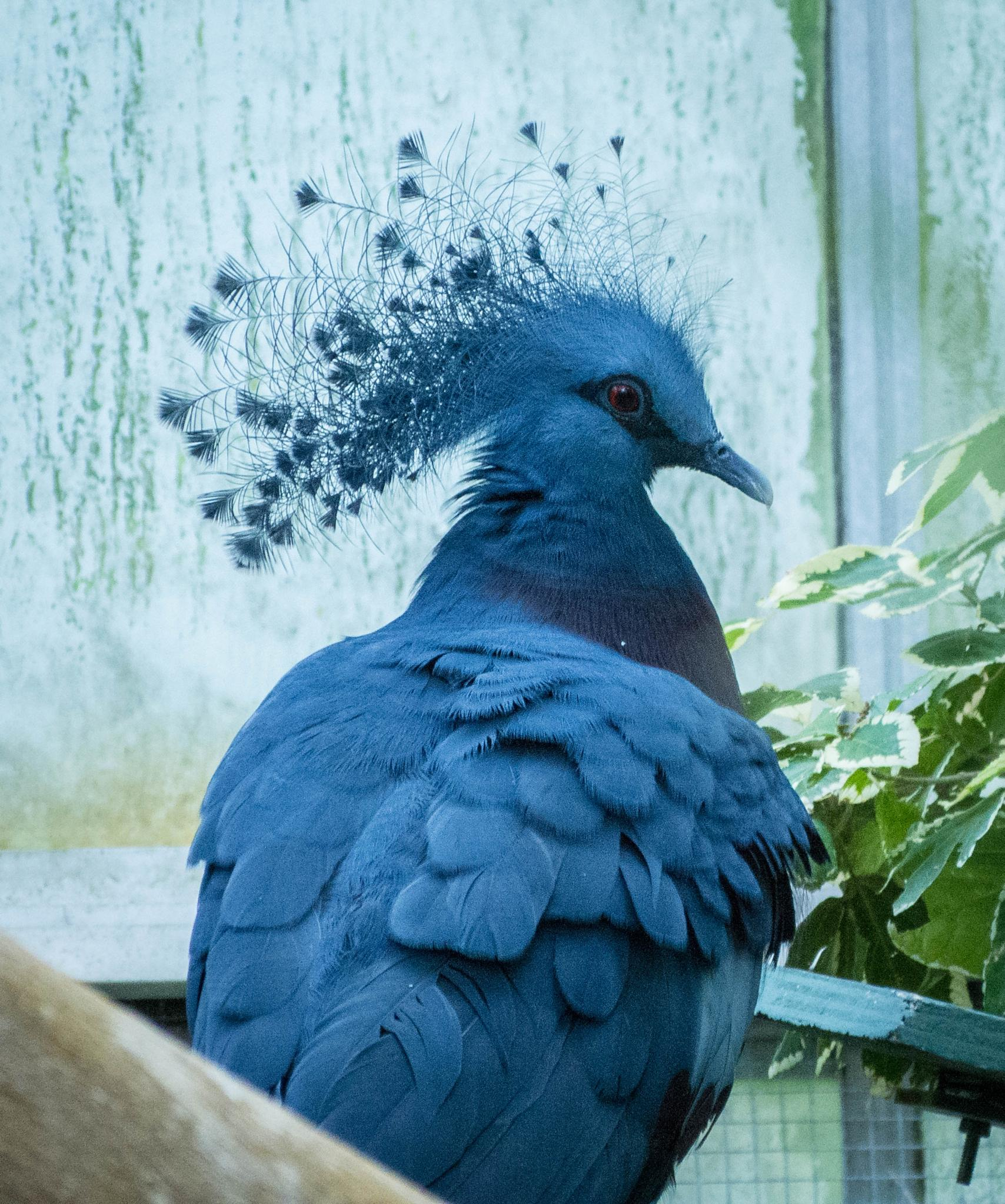 victoria crowned pigeon by melanie.szymczak