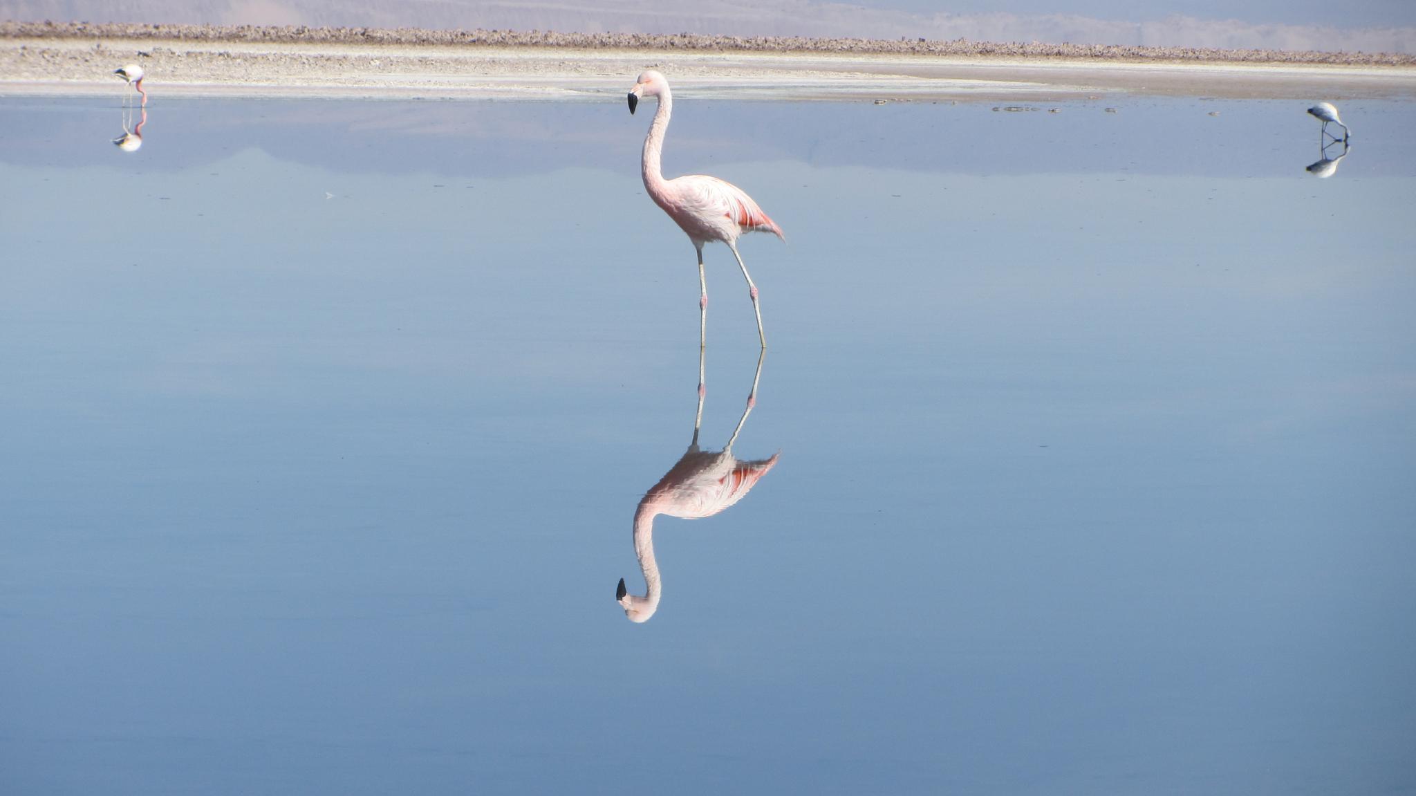 Pelican reflection by akryza